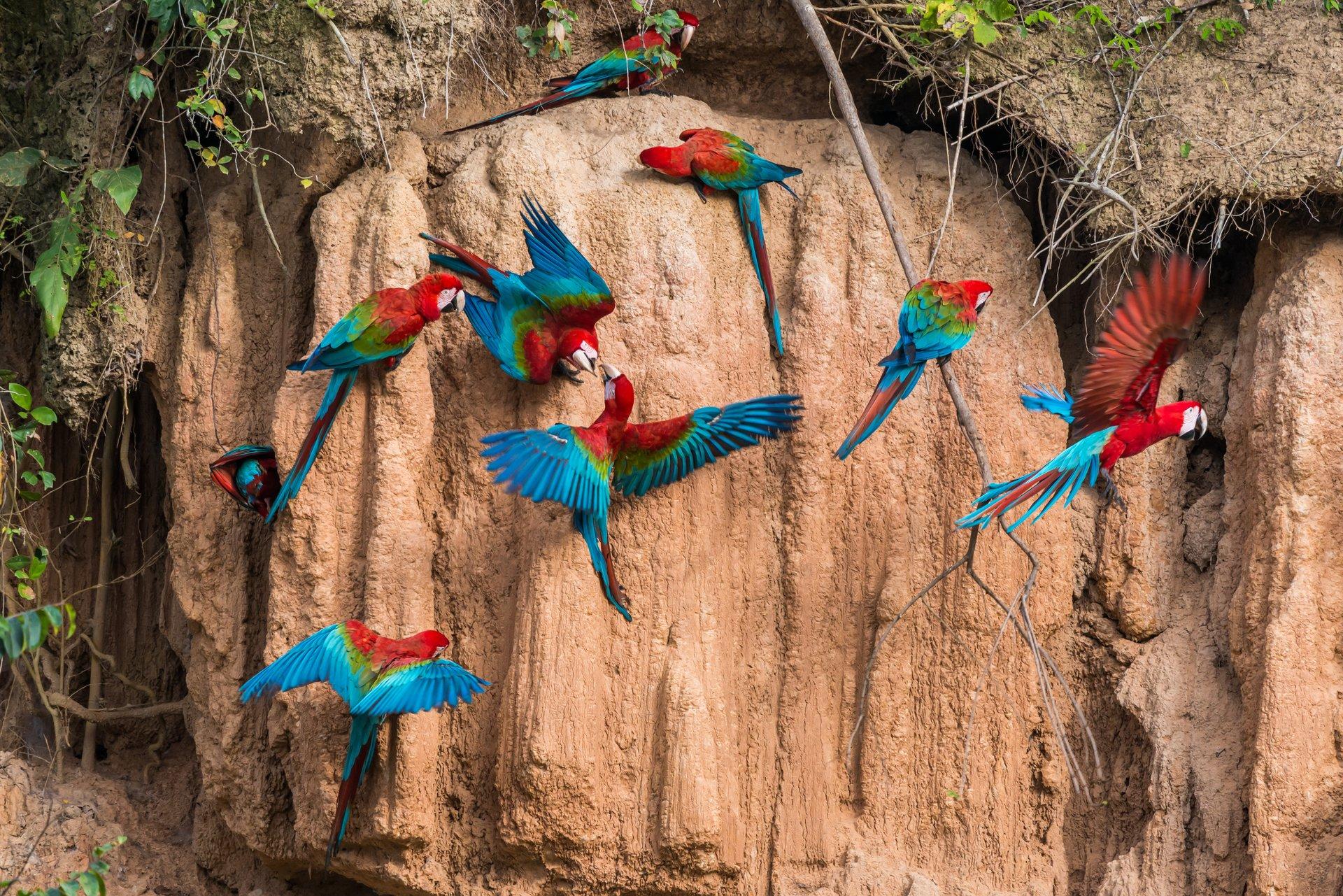 Macaw Clay Lick in Machu Picchu and Cusco 2019 - Best Time