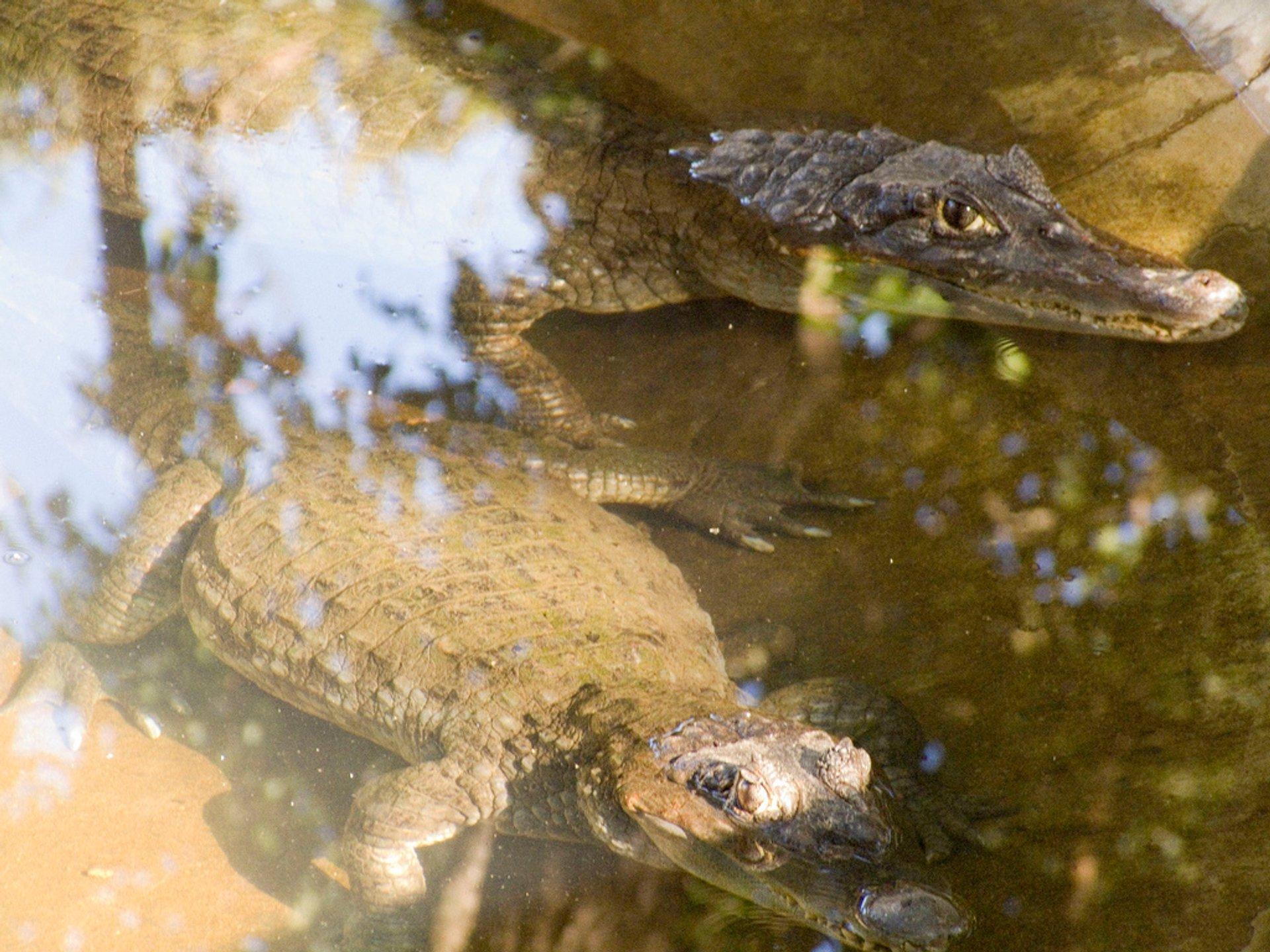 Crocodile Watching in Goa 2020 - Best Time