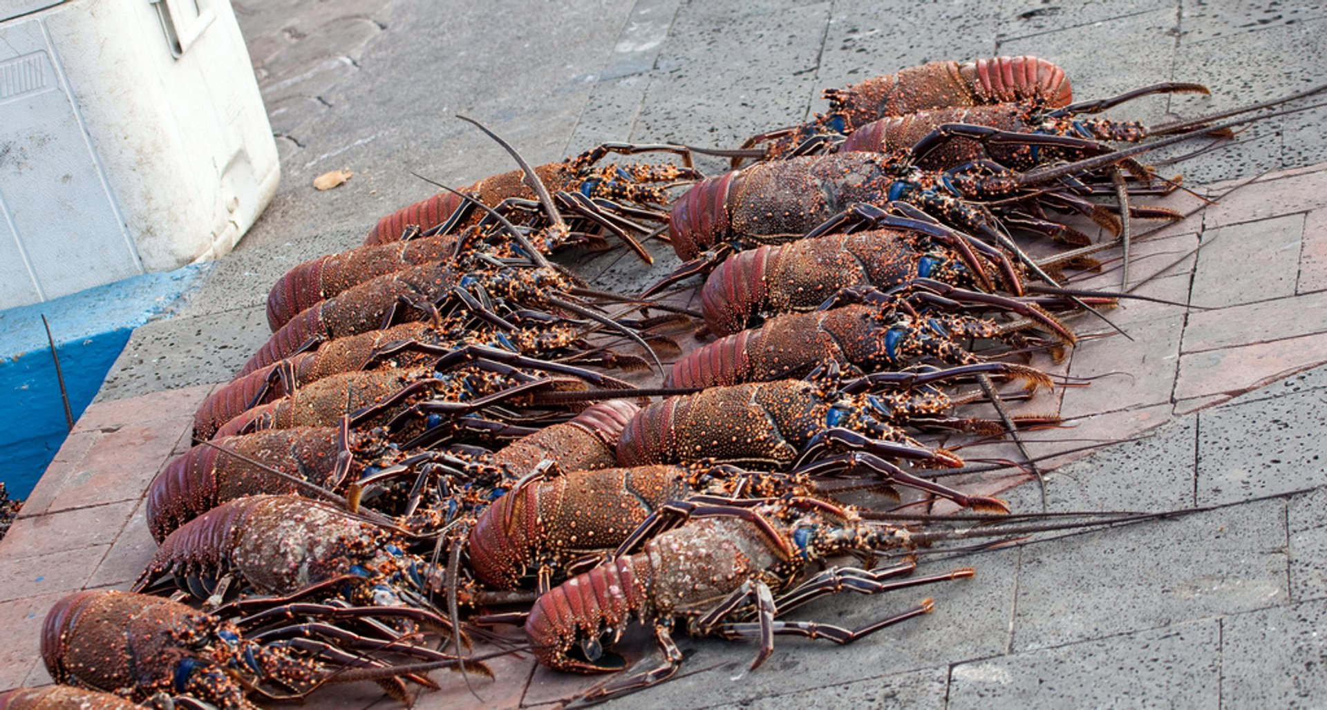 Lobsters Season in Galapagos Islands - Best Season 2019