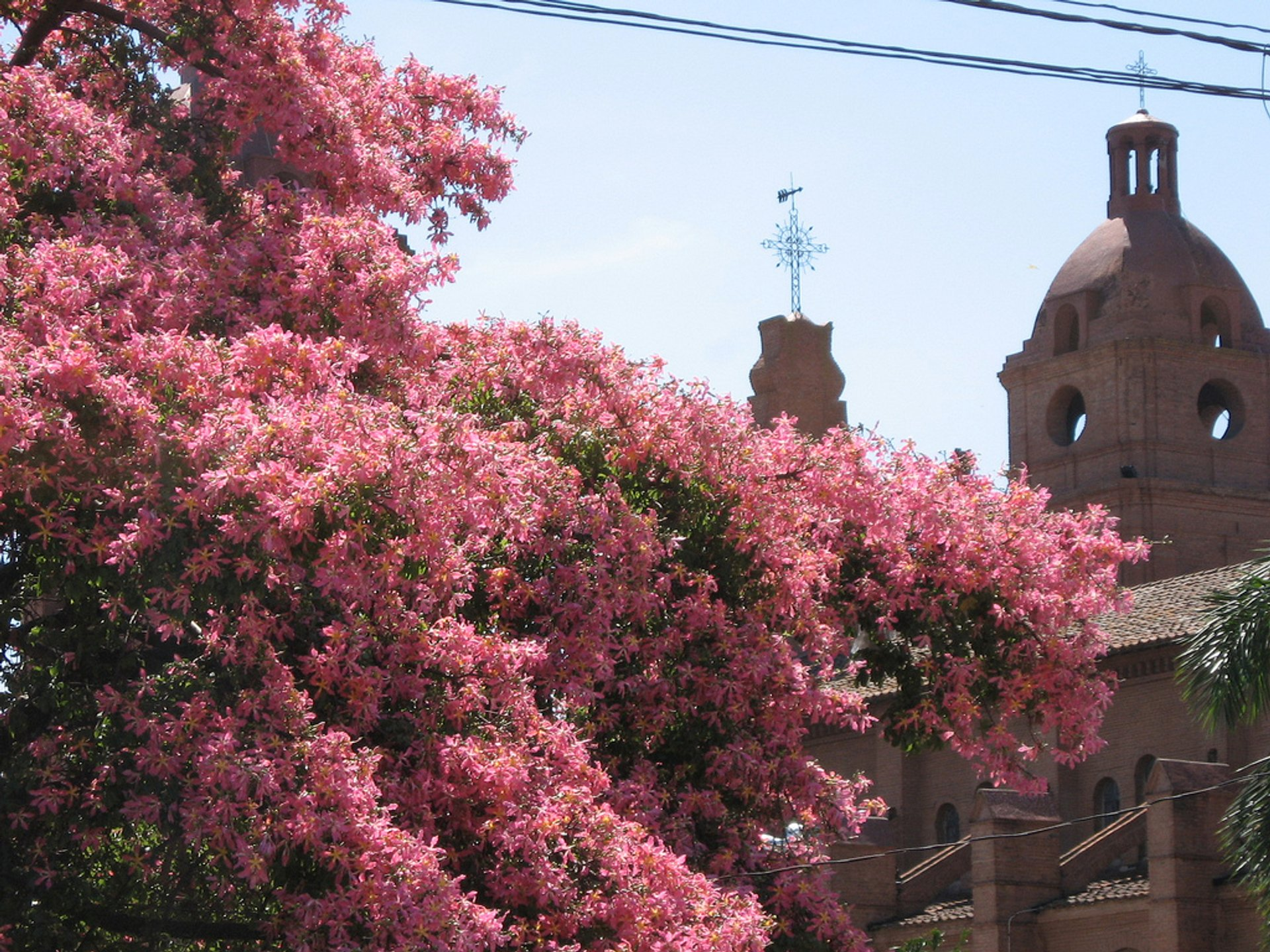 Toborochi Tree in Bloom in Bolivia - Best Season 2020