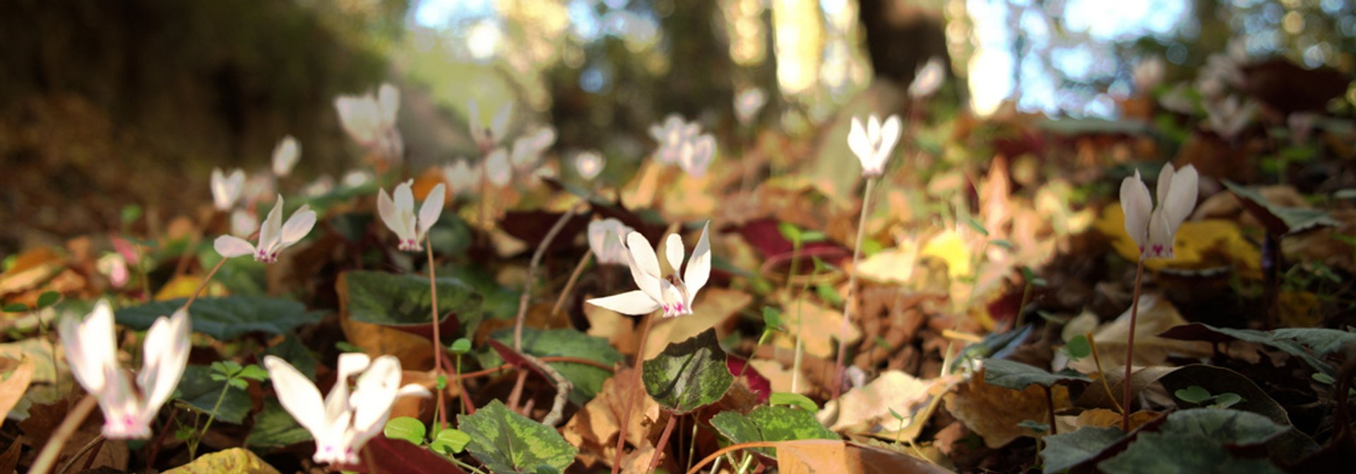 Pink Cyclamen in Cyprus - Best Season 2019