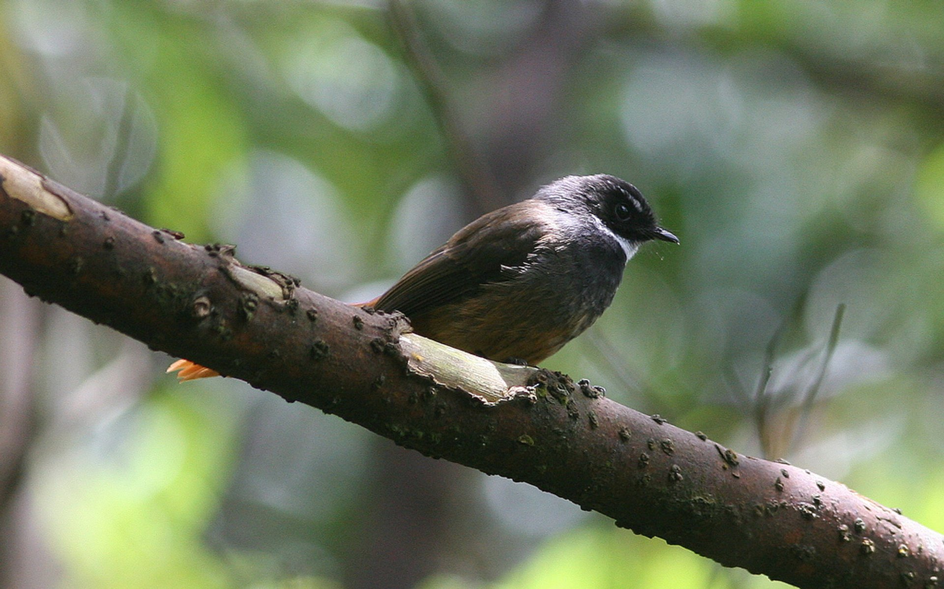 Rufous-tailed Fantail 2020