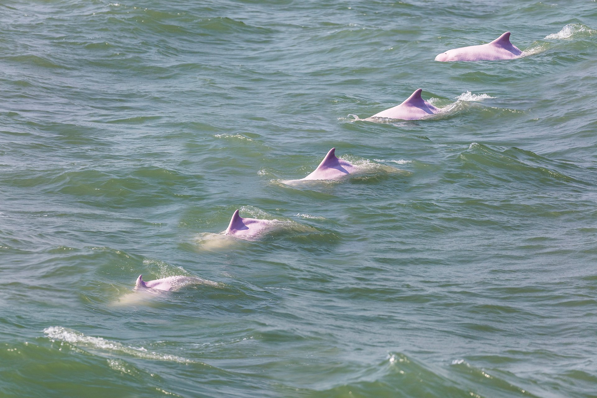 Best time for Pink Dolphin Watching in Hong Kong