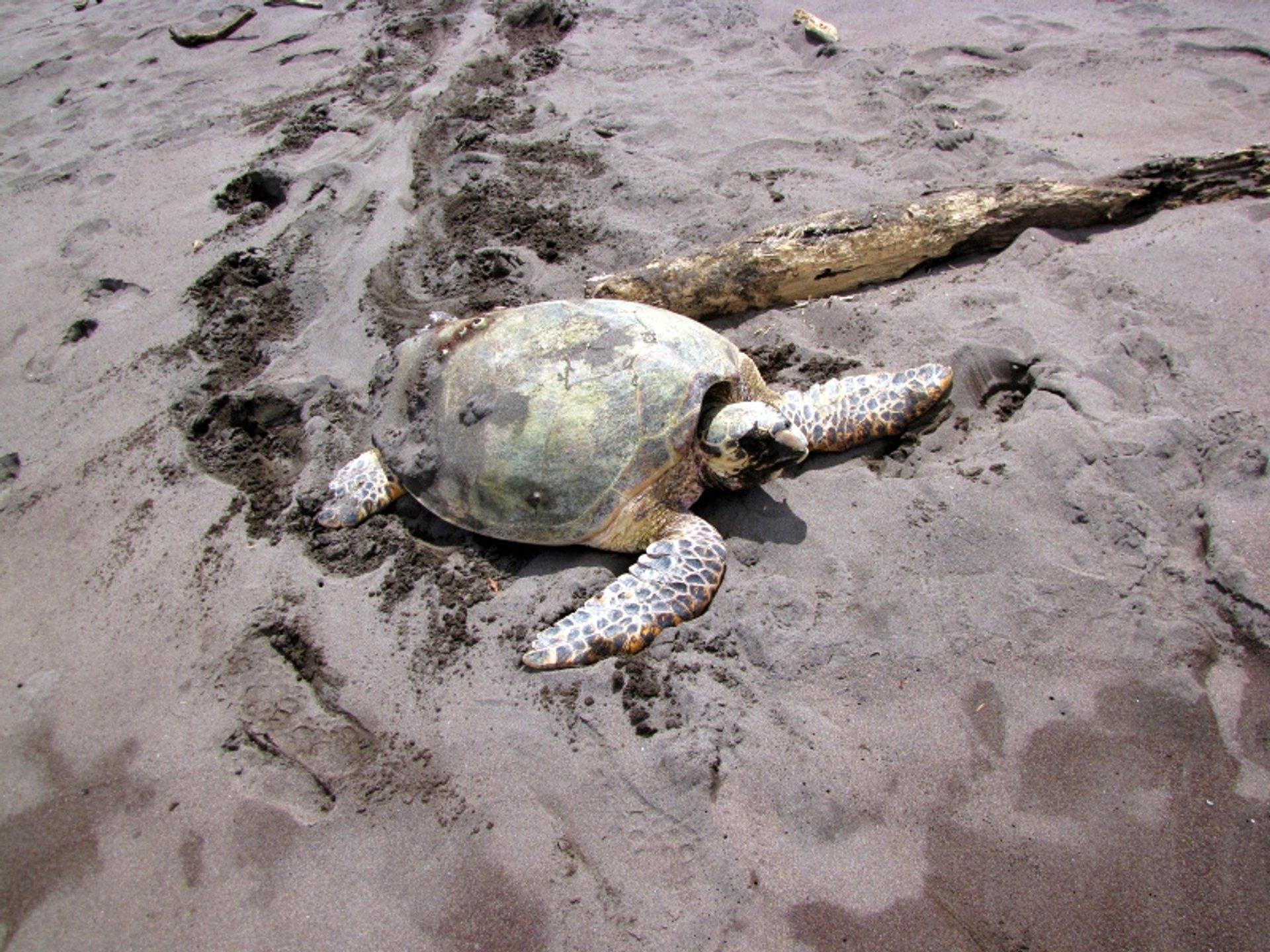 Hawksbill Turtles in Costa Rica - Best Season 2020
