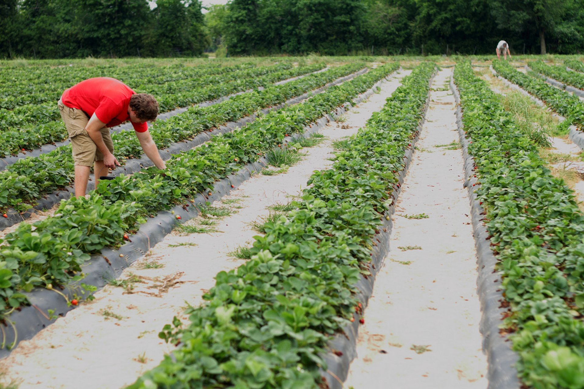 Strawberry fields, Alvin, Texas 2019