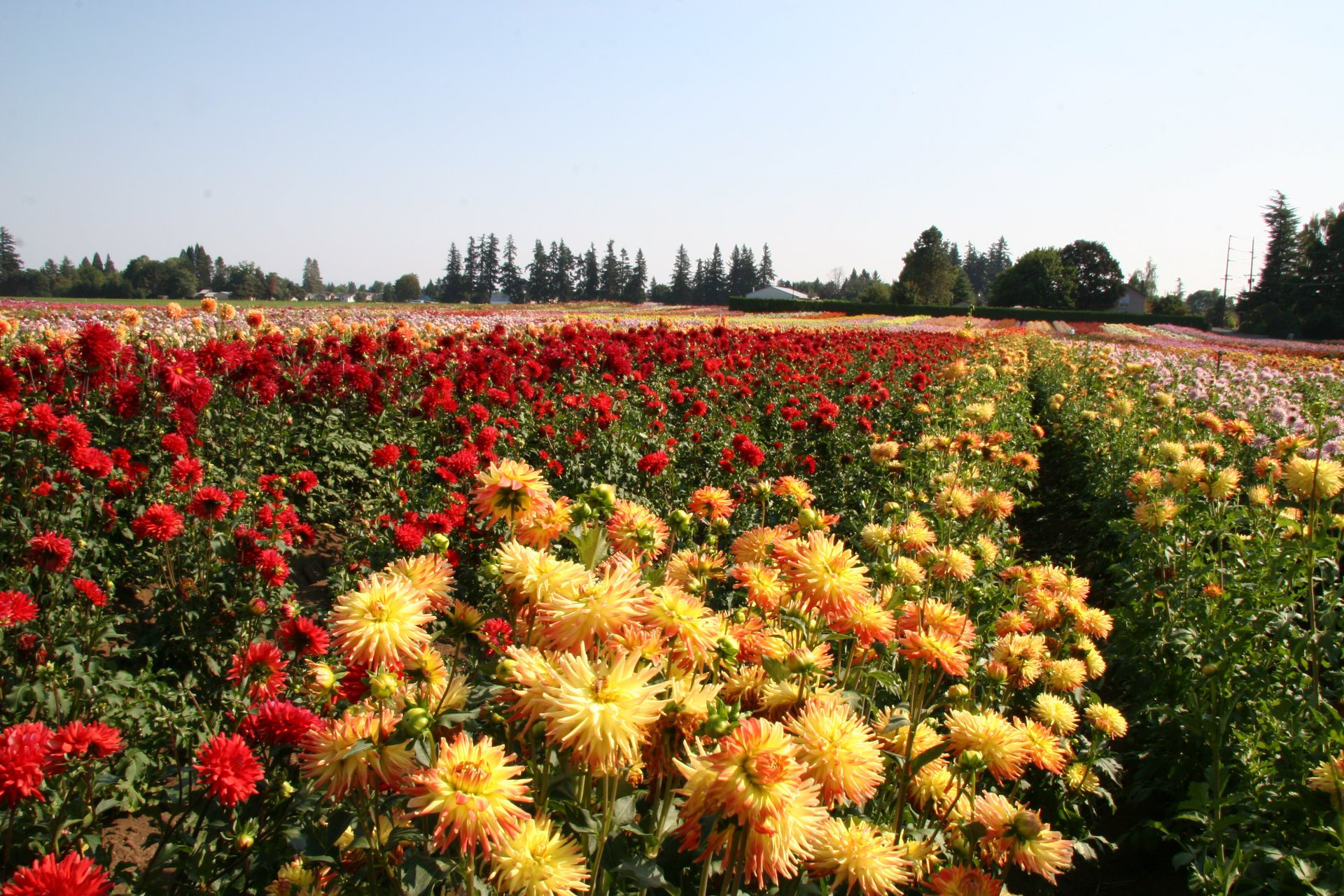 Best time for Dahlia Festival in Oregon 2020