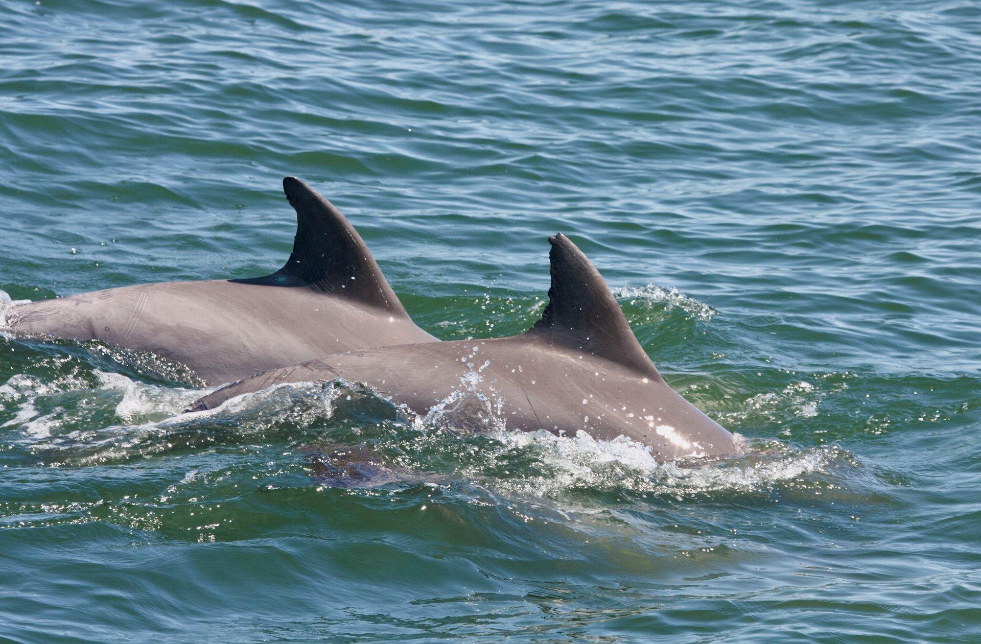 Dolphin Watching in Virginia Beach in Virginia 2020 - Best Time