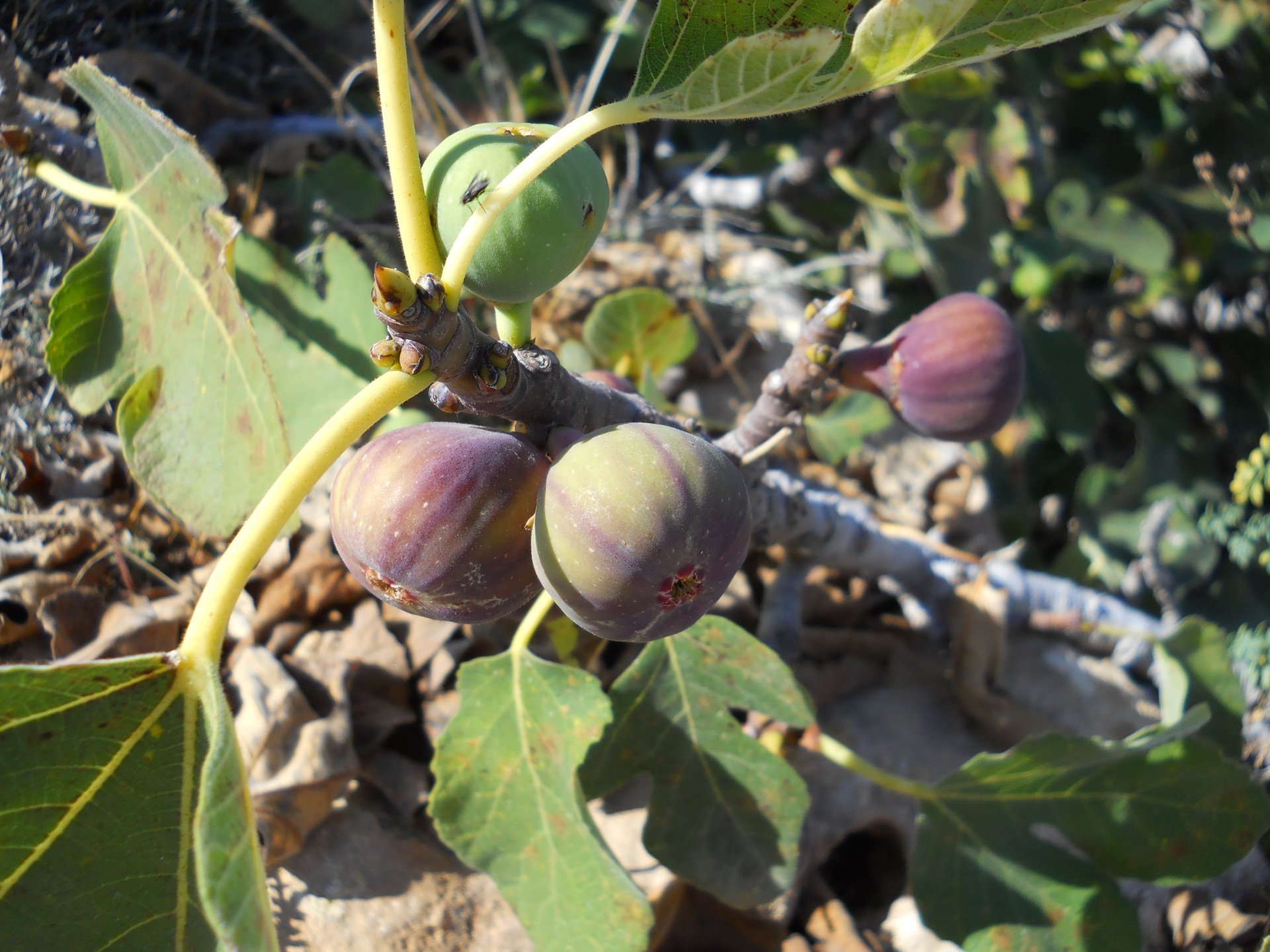 Figs in Cyprus 2020 - Best Time