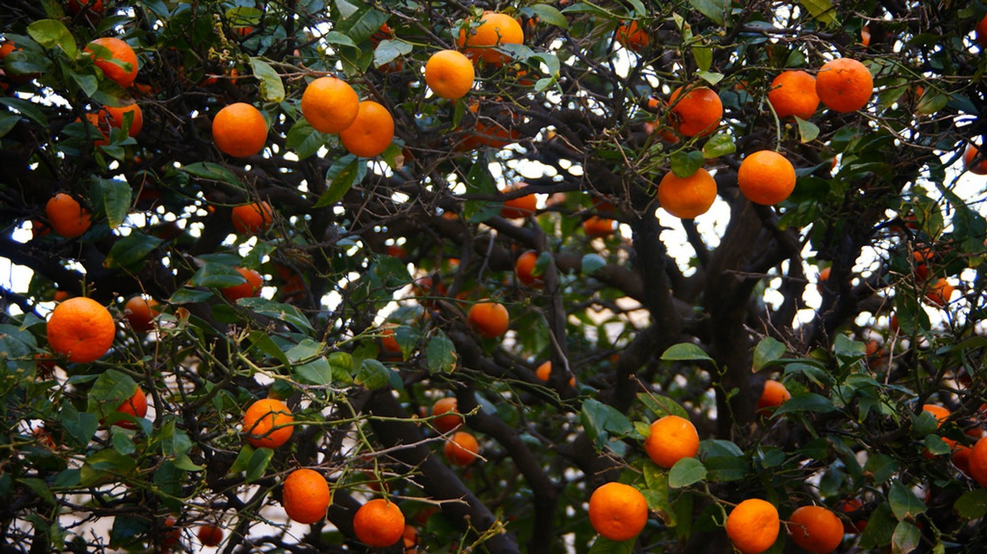 Tangerine Harvesting Season in Croatia - Best Season
