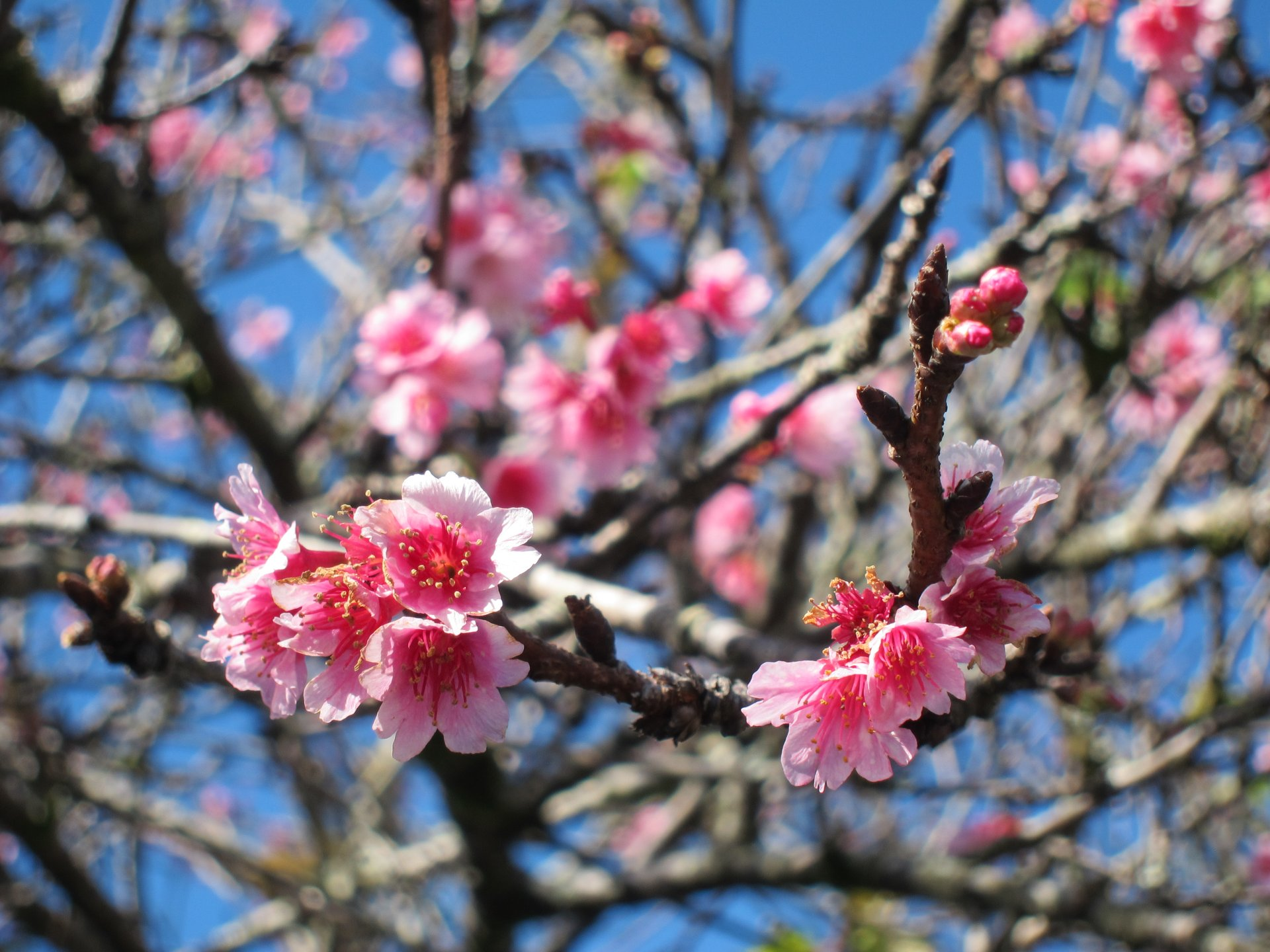 Cherry Blossoms in Wahiawa Heights 2020