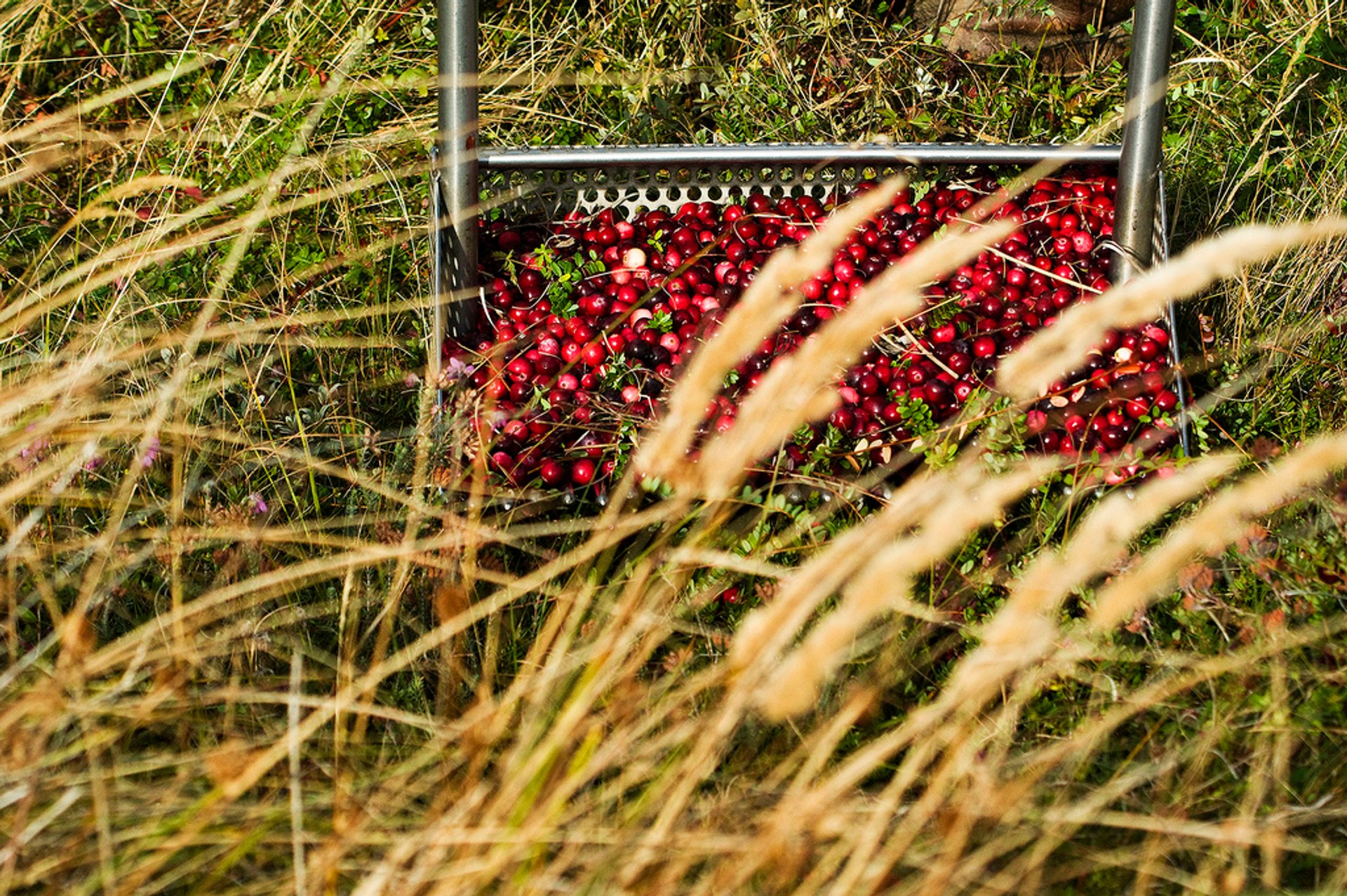 Cranberries at Terschelling and Vlieland in The Netherlands - Best Season 2019