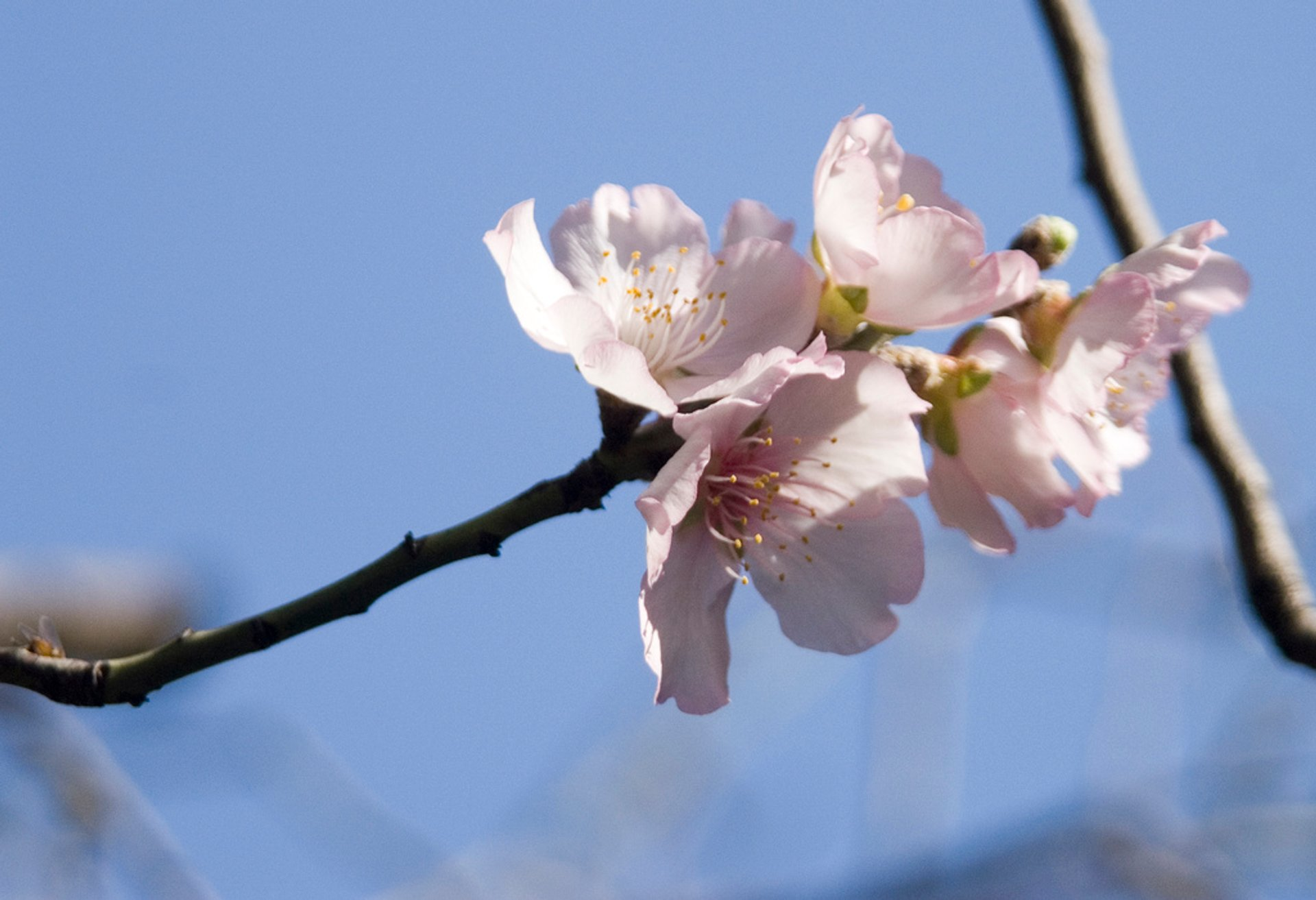 Best time for Almond Blossom in Israel
