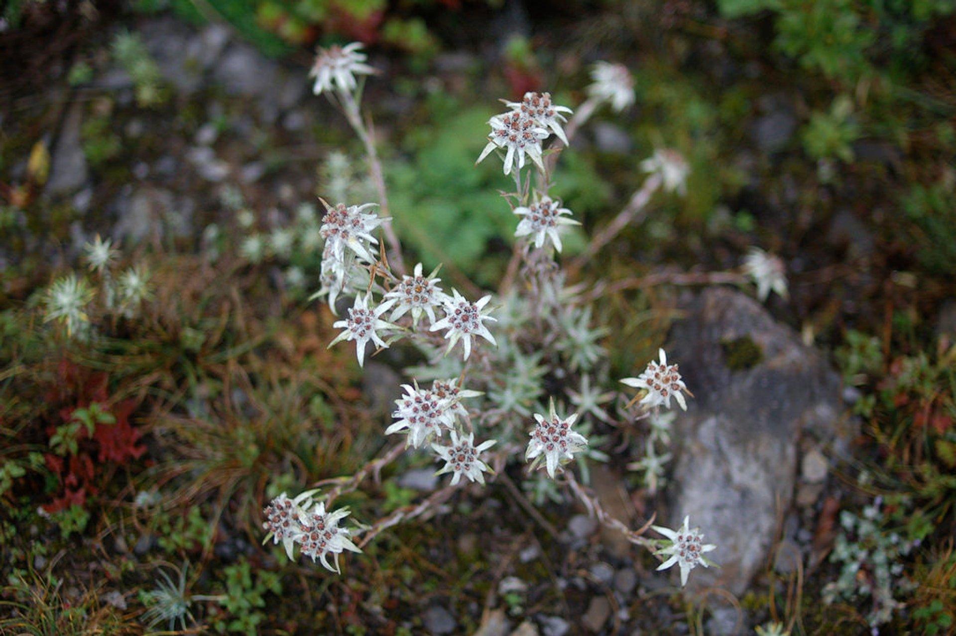 Edelweiss in Bhutan 2020