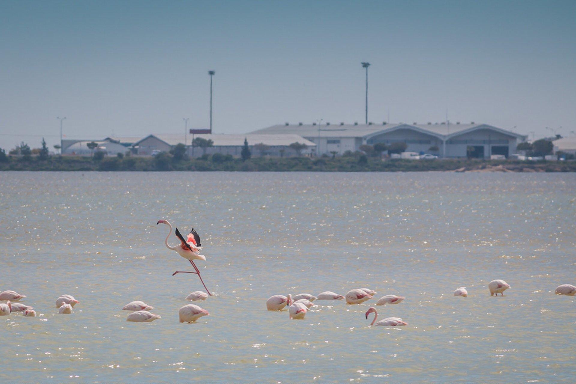 Flamingos at Larnaca salt lake 2020