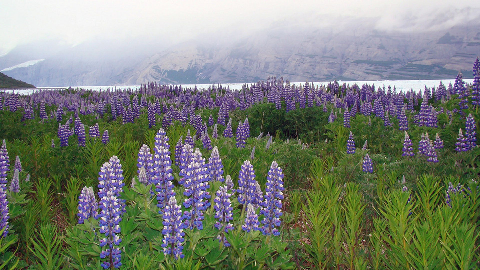 Lupine Fields in Bloom in Alaska - Best Season 2020