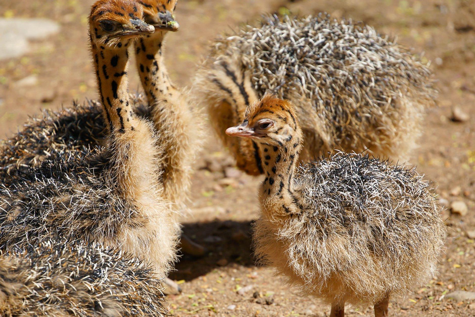 Baby ostriches 2020