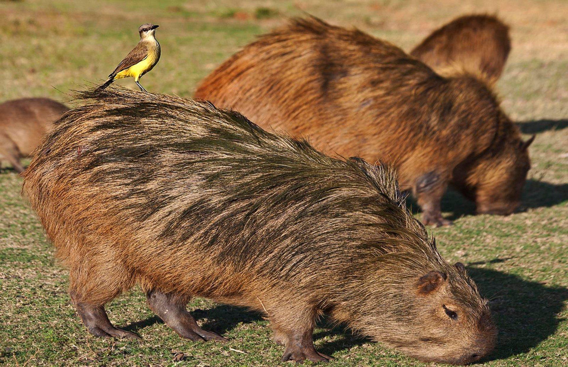 Capybara Watching (Breeding Season) in Rio de Janeiro - Best Season 2019