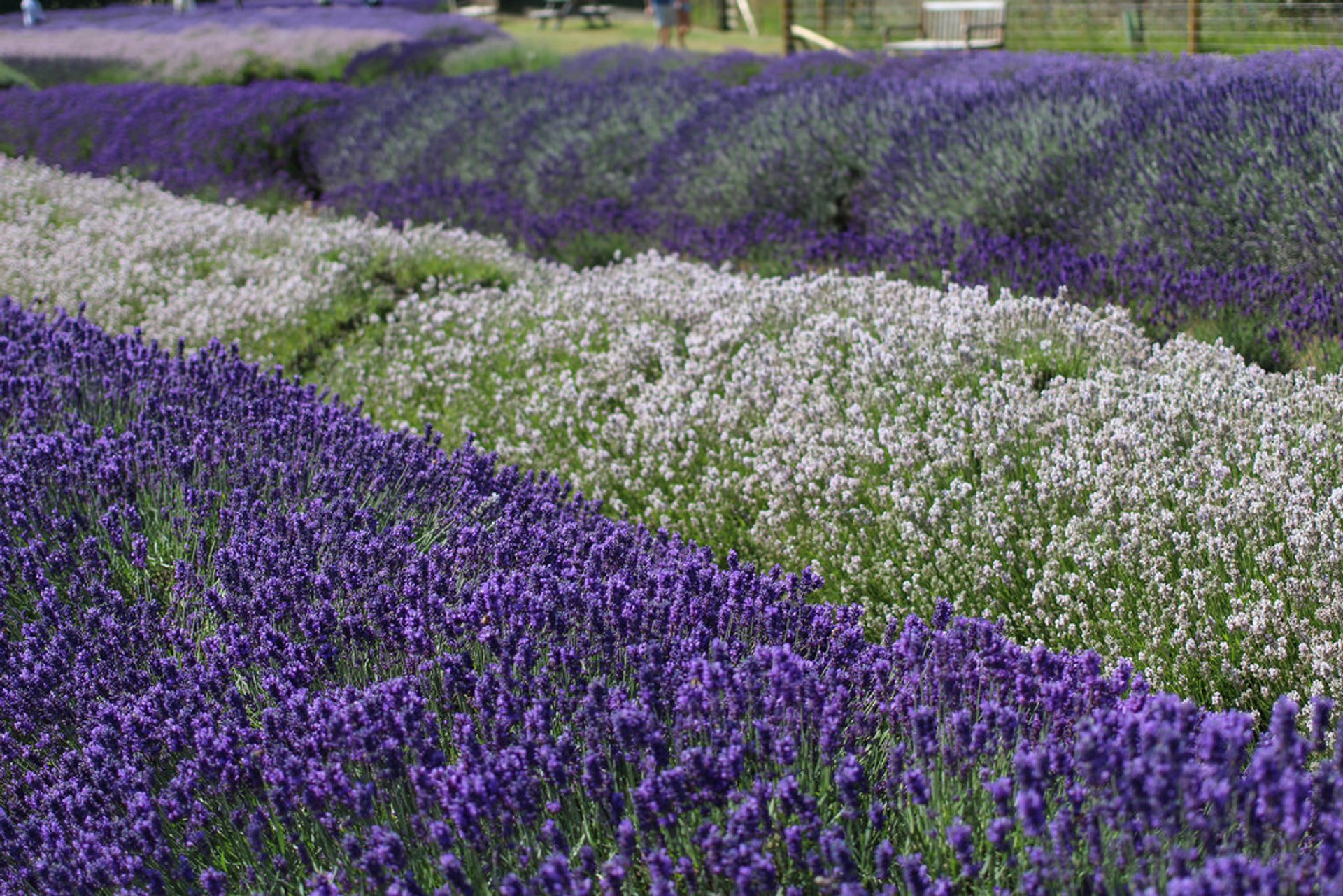 Lavender Blooming in England - Best Season 2019