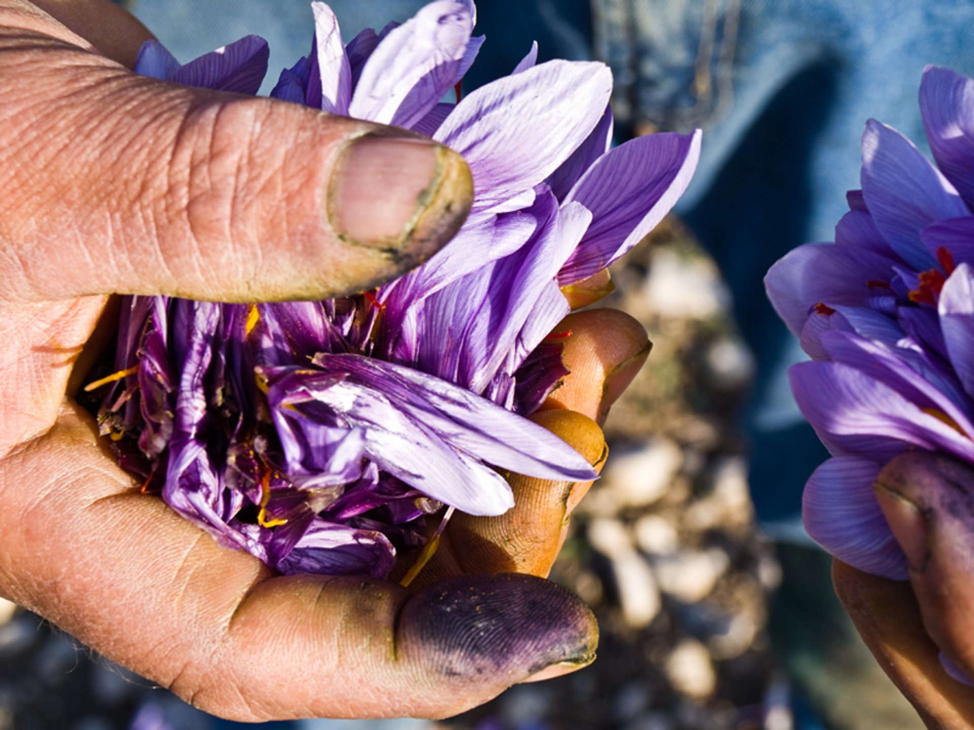 Best time to see Saffron Harvest in Greece 2020