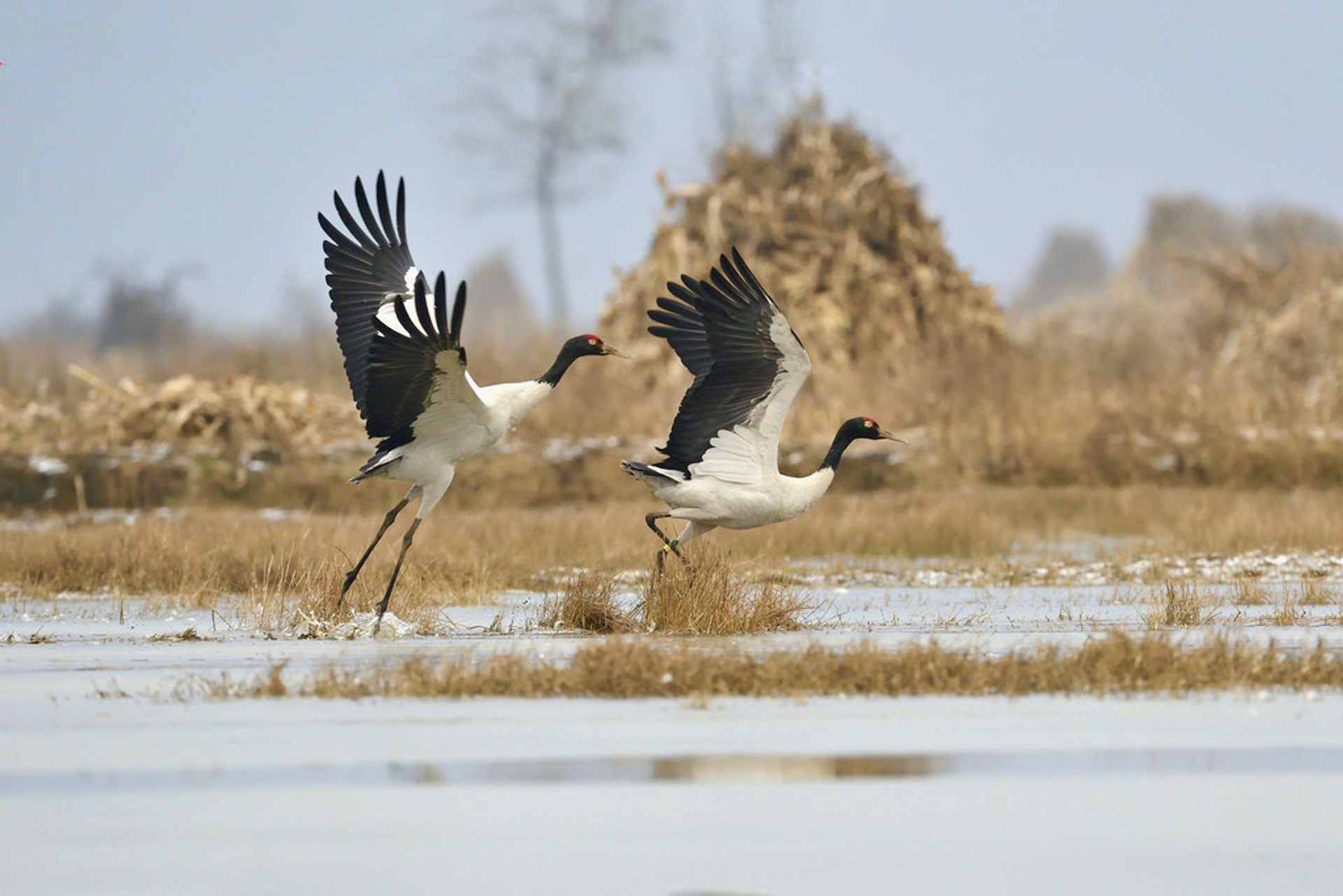 Black-Necked Cranes in Tibet - Best Time
