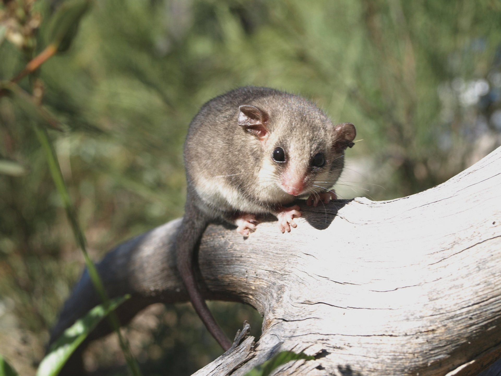 Mountain Pygmy Possum in New South Wales 2020 - Best Time