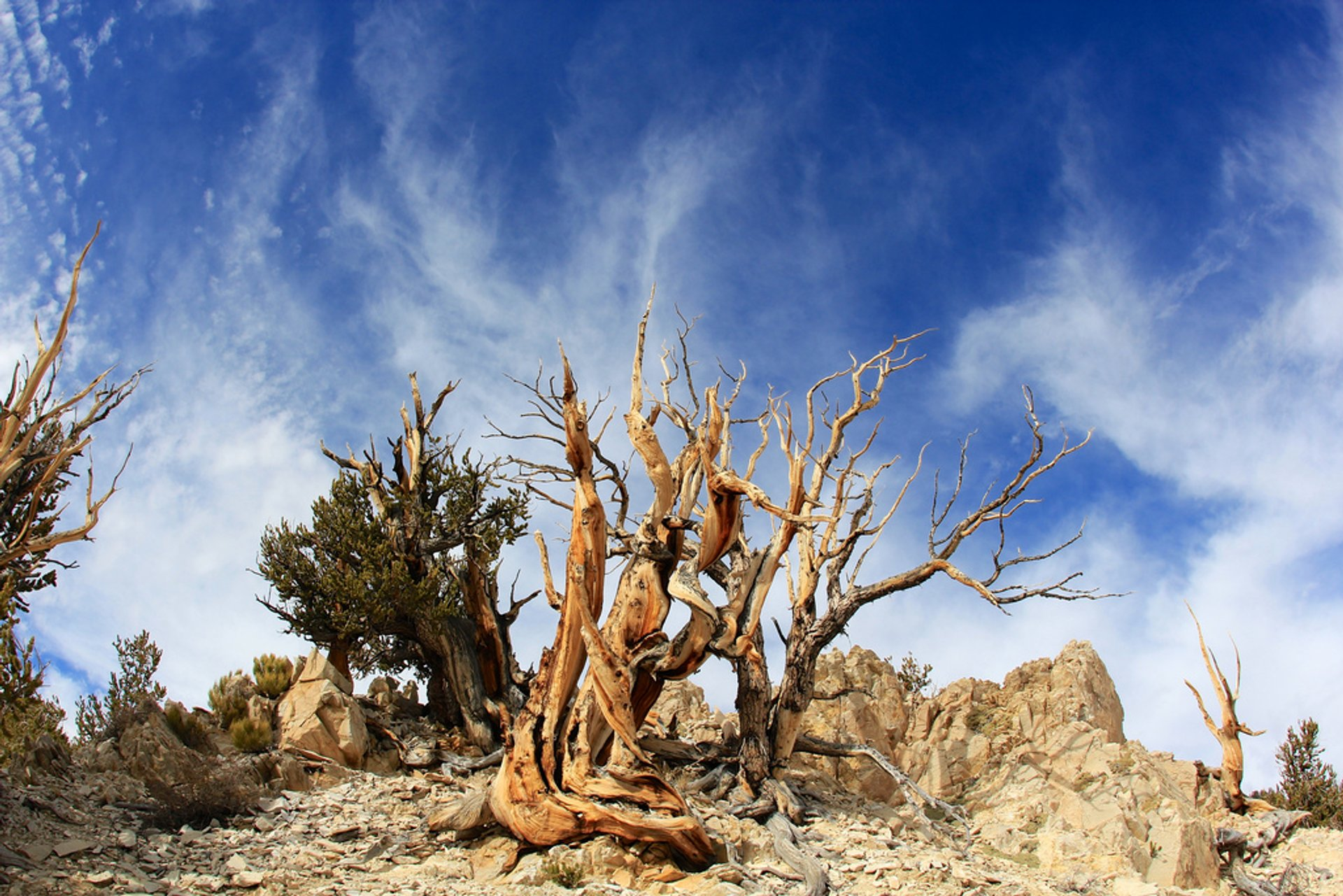 Best time for Bristlecone Pines in California 2020
