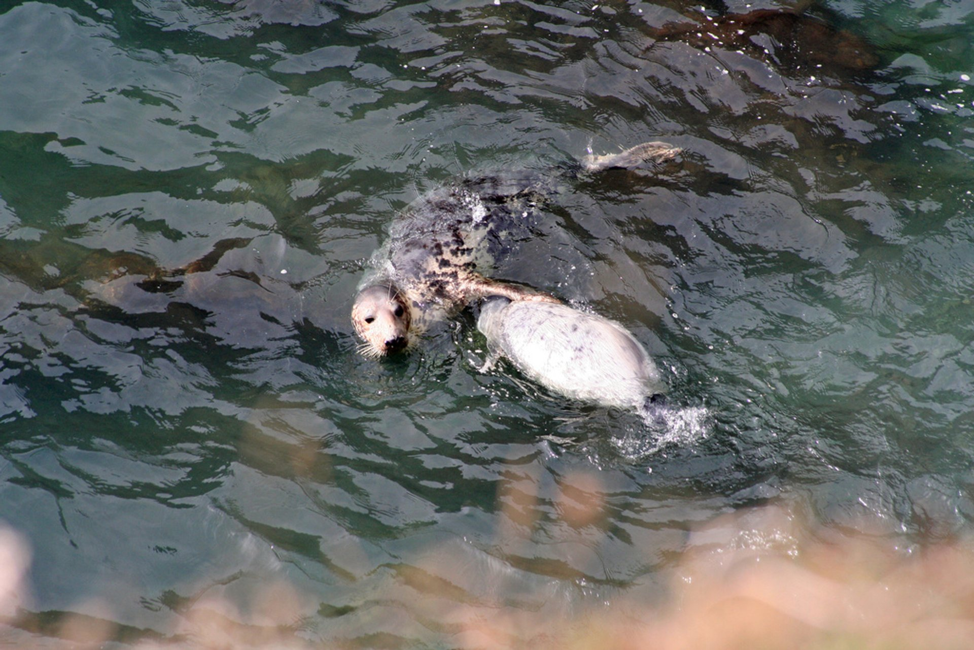 Atlantic Grey Seal Pups in Wales 2019 - Best Time