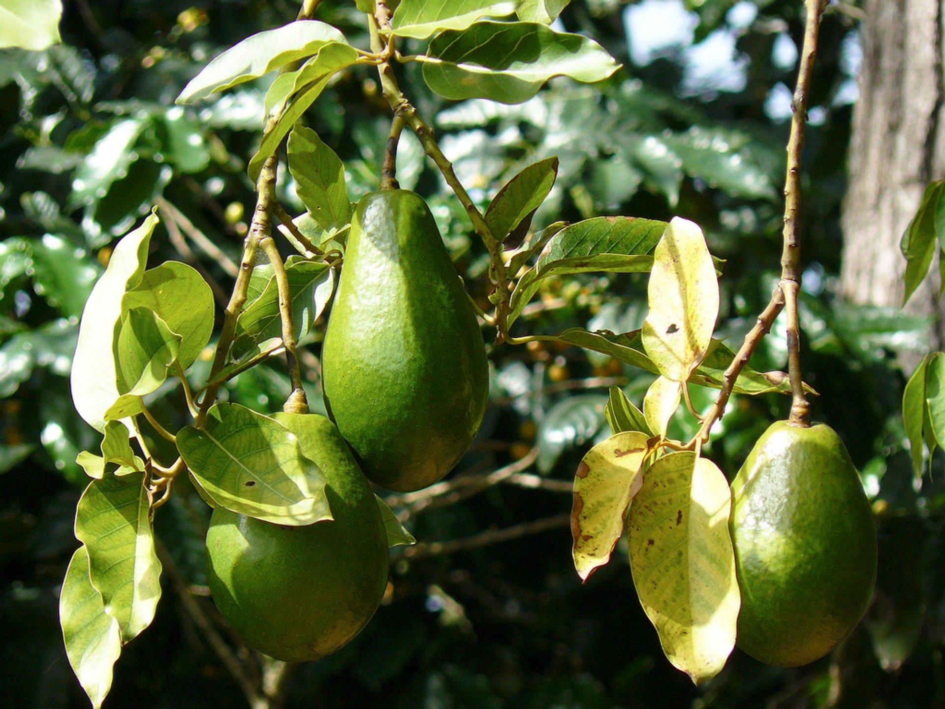 Avocado Season in Cuba 2020 - Best Time