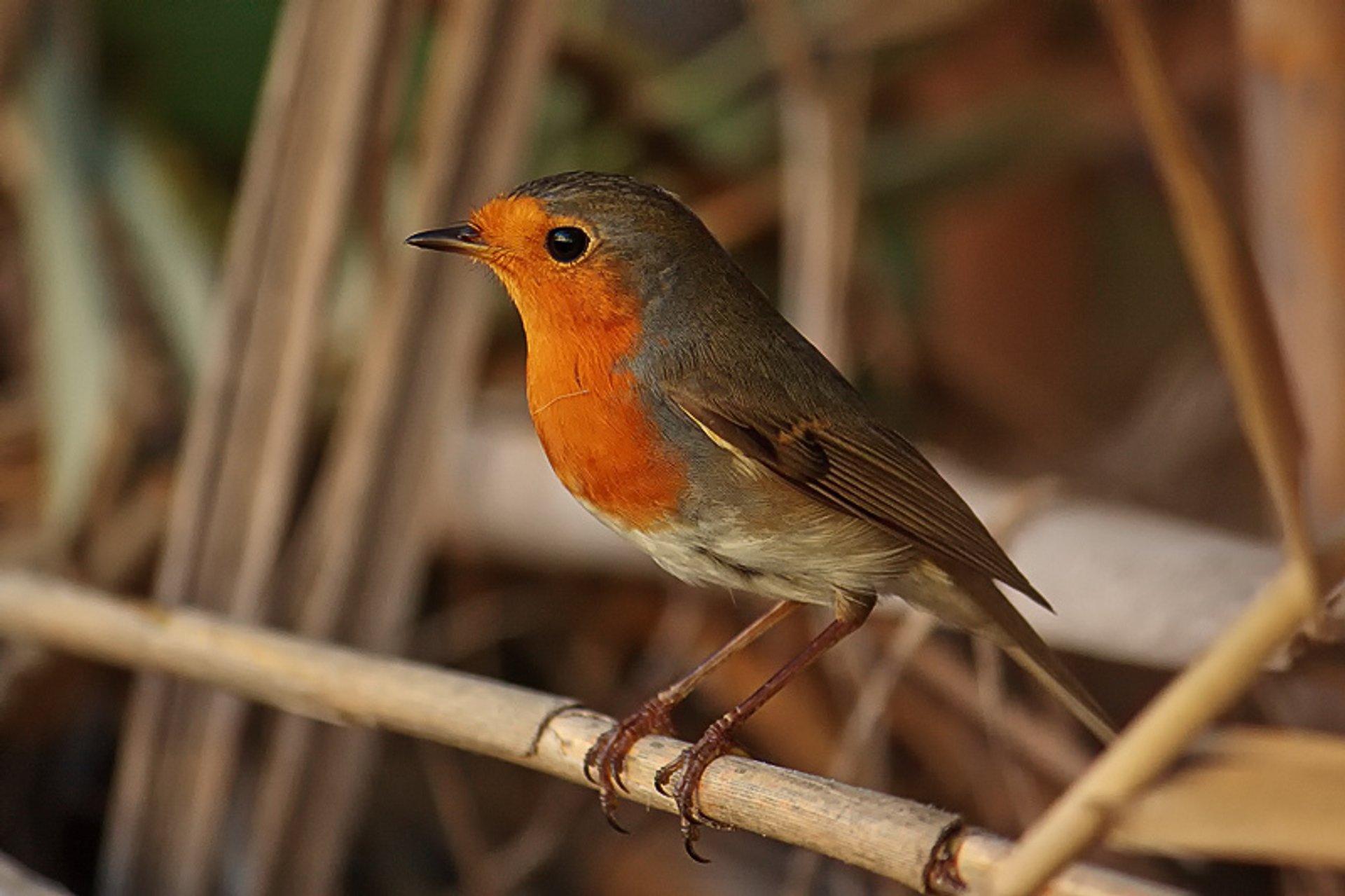 Robin 2019