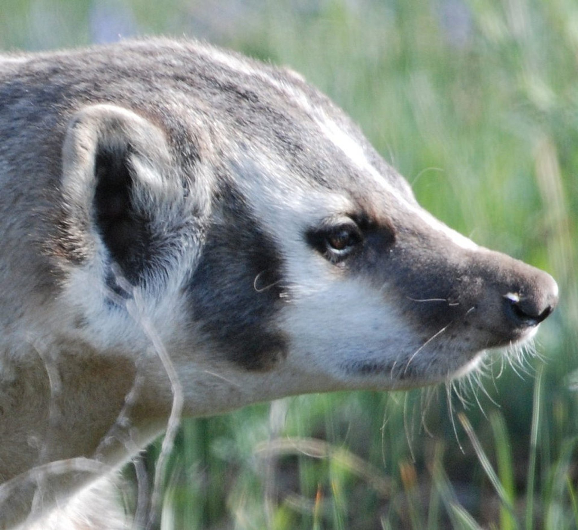 Best time for Badgers in Yellowstone National Park