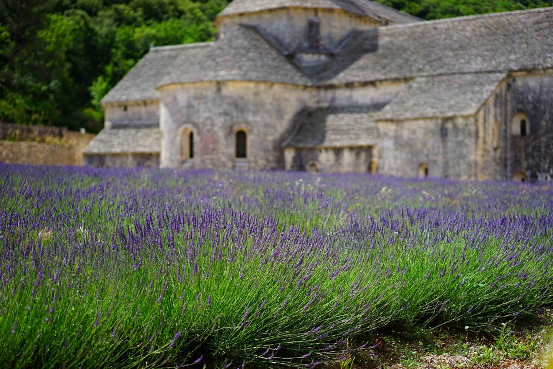 Lavender blooming near Sénanque Abbey 2019