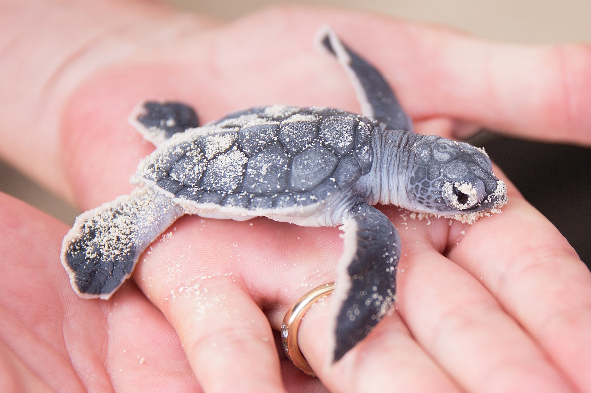 Best time for Turtle Nesting and Hatching in Cancun 2020