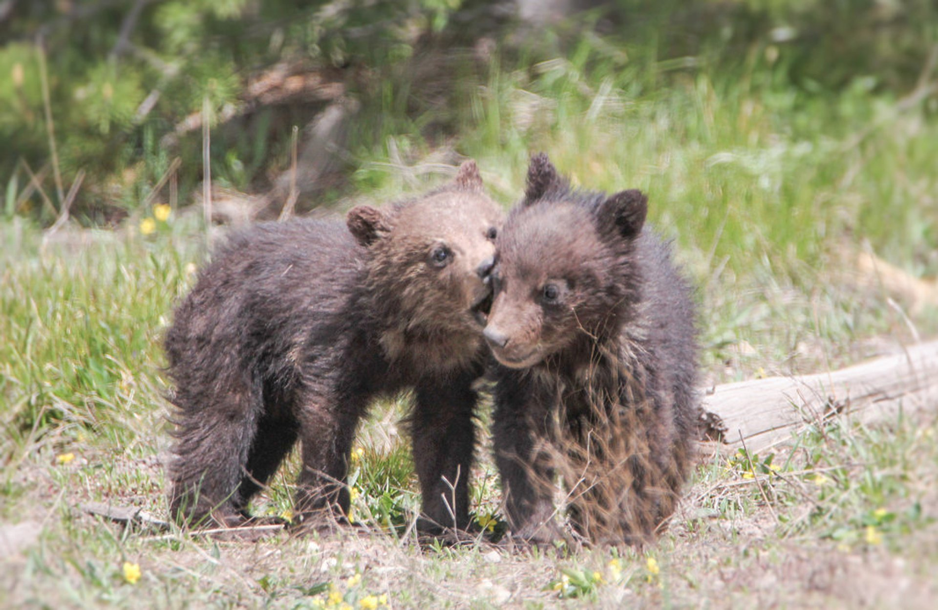 Grizzly cubs near Roaring Mountain 2020