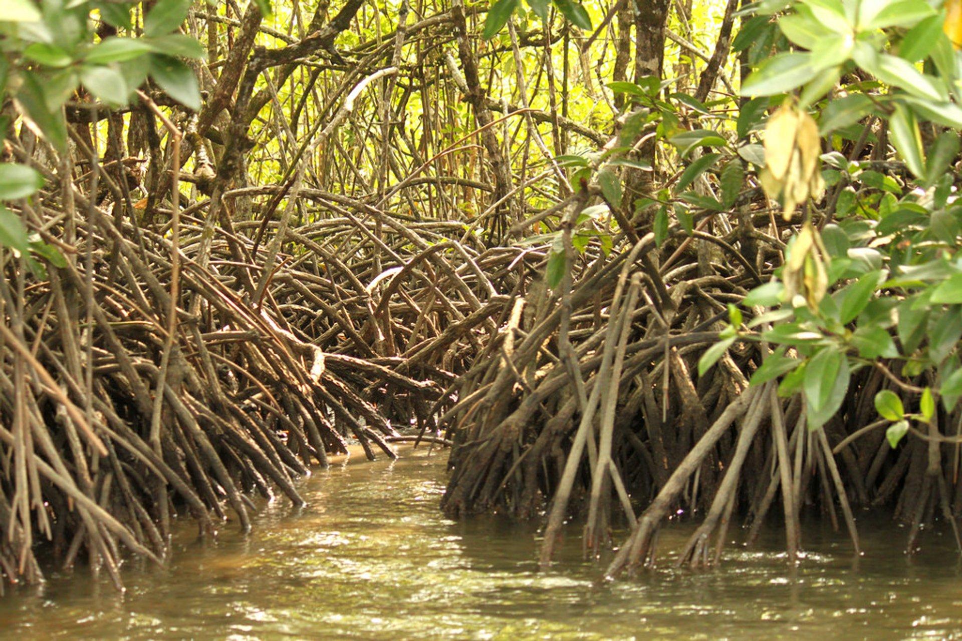 Mangrove 2020