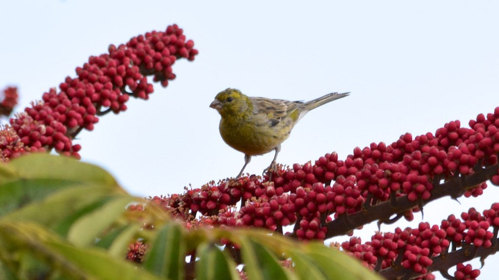 Best time to see Atlantic Canary Breeding in Canary Islands 2020