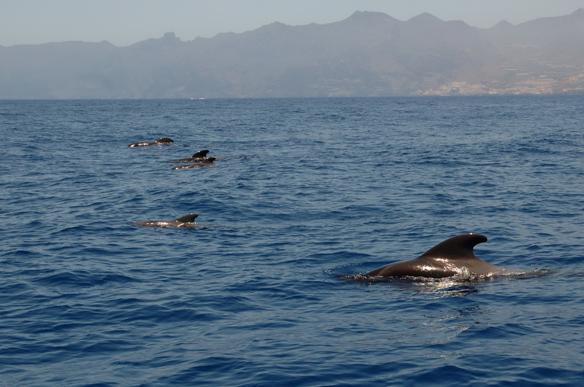 Long-Finned Pilot Whale in Canary Islands - Best Season 2020