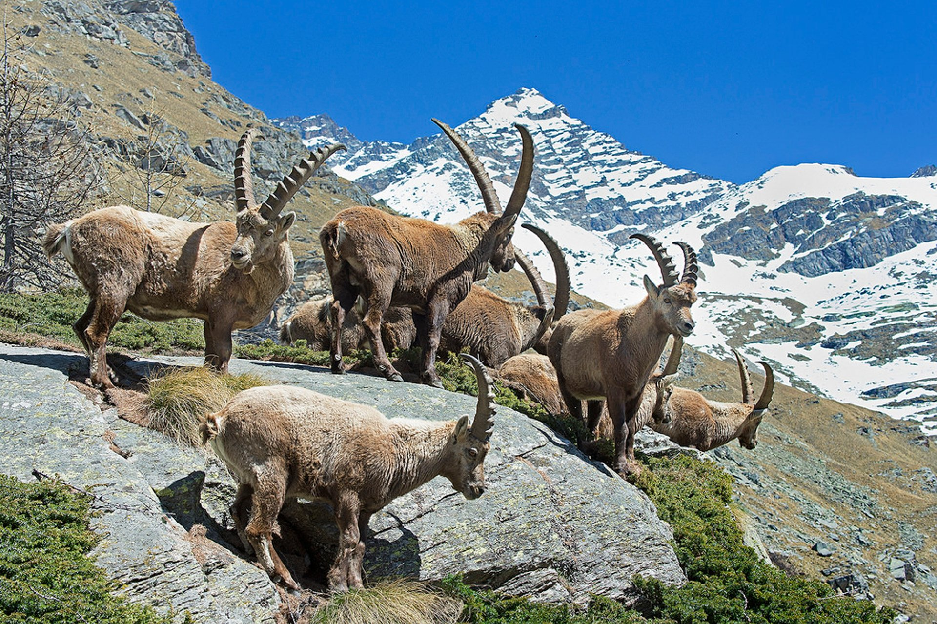Best time for Alpine Ibex in Austria 2020