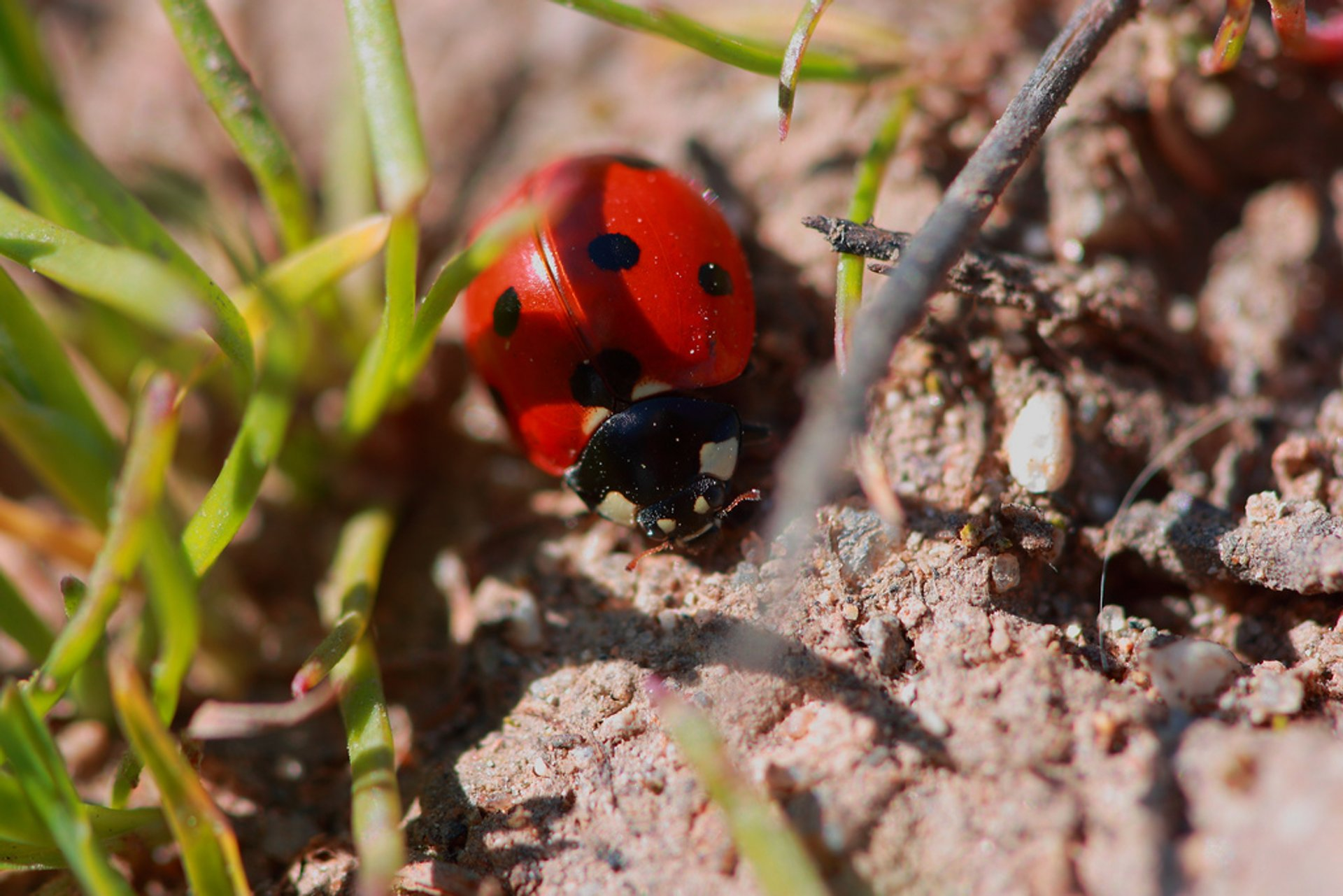 Ladybug near McClellan Park, California, United States 2020