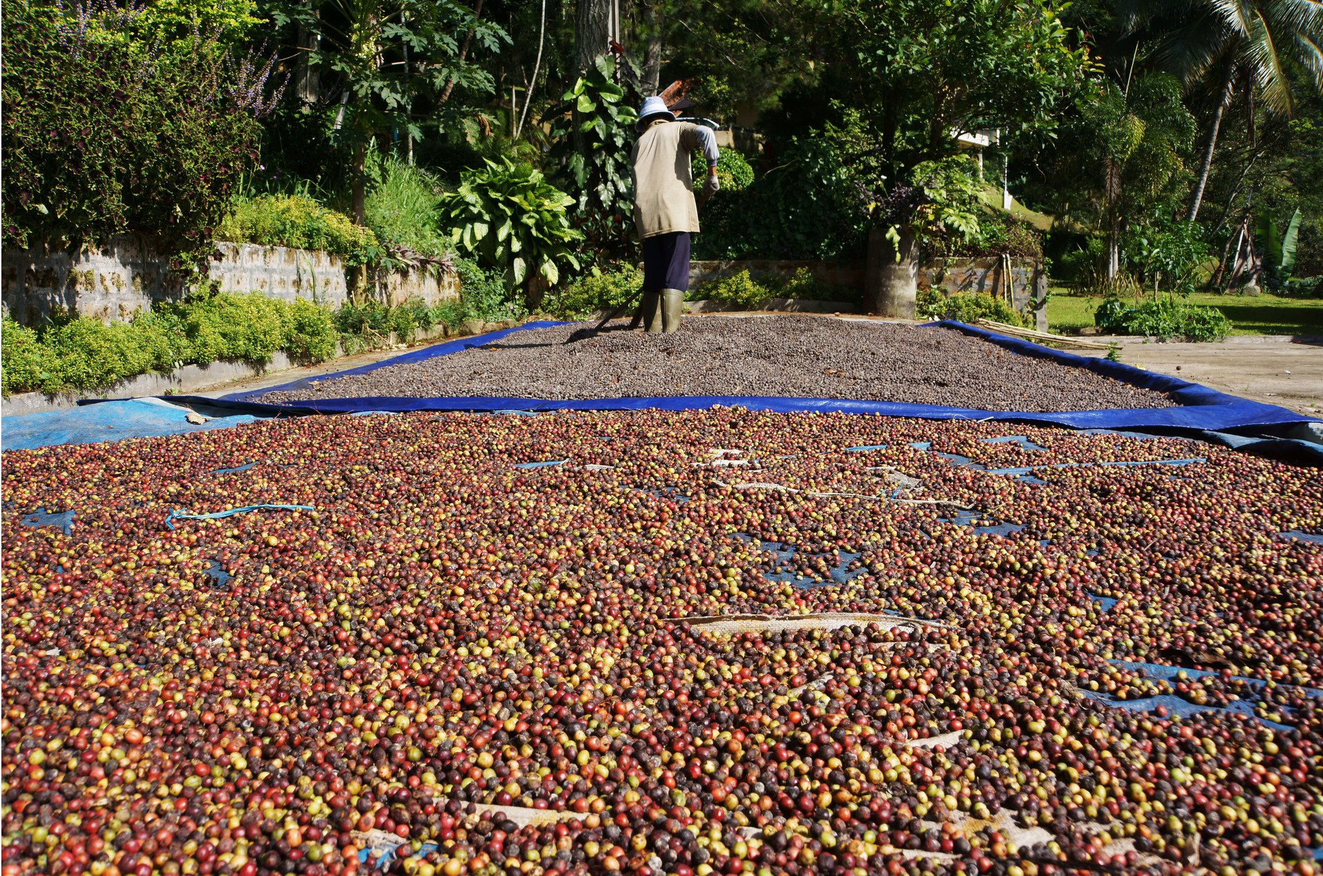 Coffee Harvest in Java 2020 - Best Time