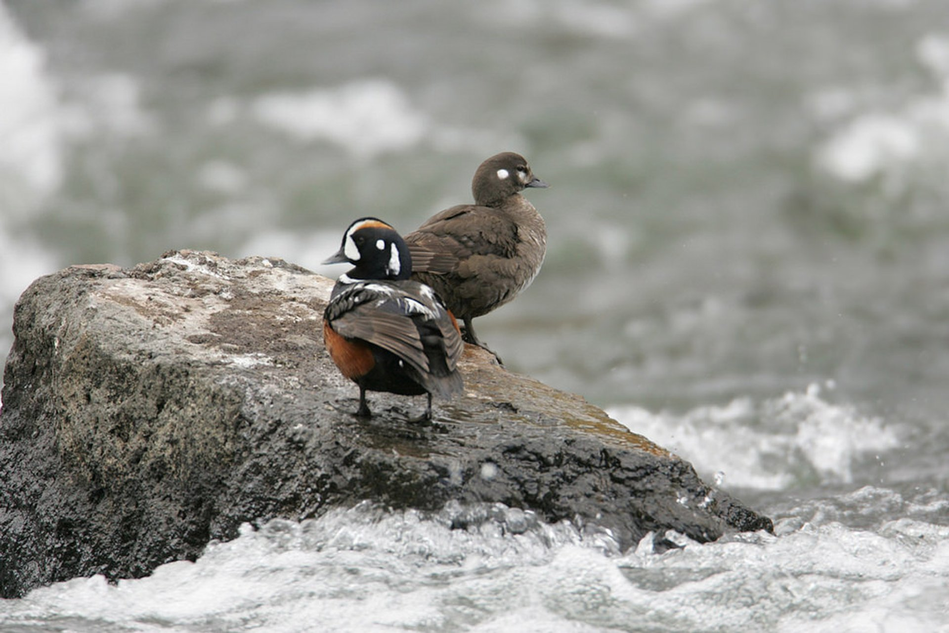 Male and female Harlequin ducks 2019