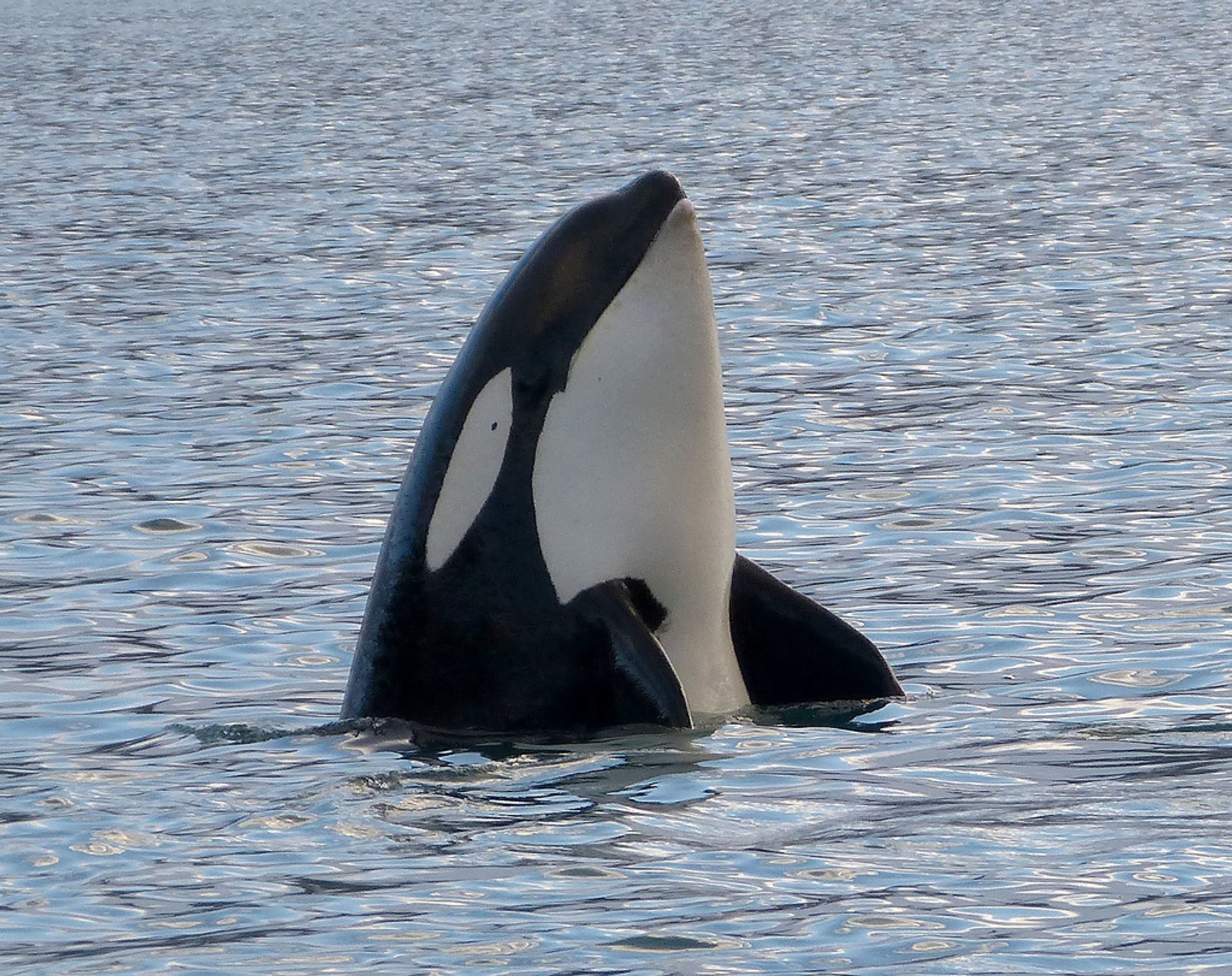 Orca (Killer) Whale Watching in Iceland - Best Season 2020
