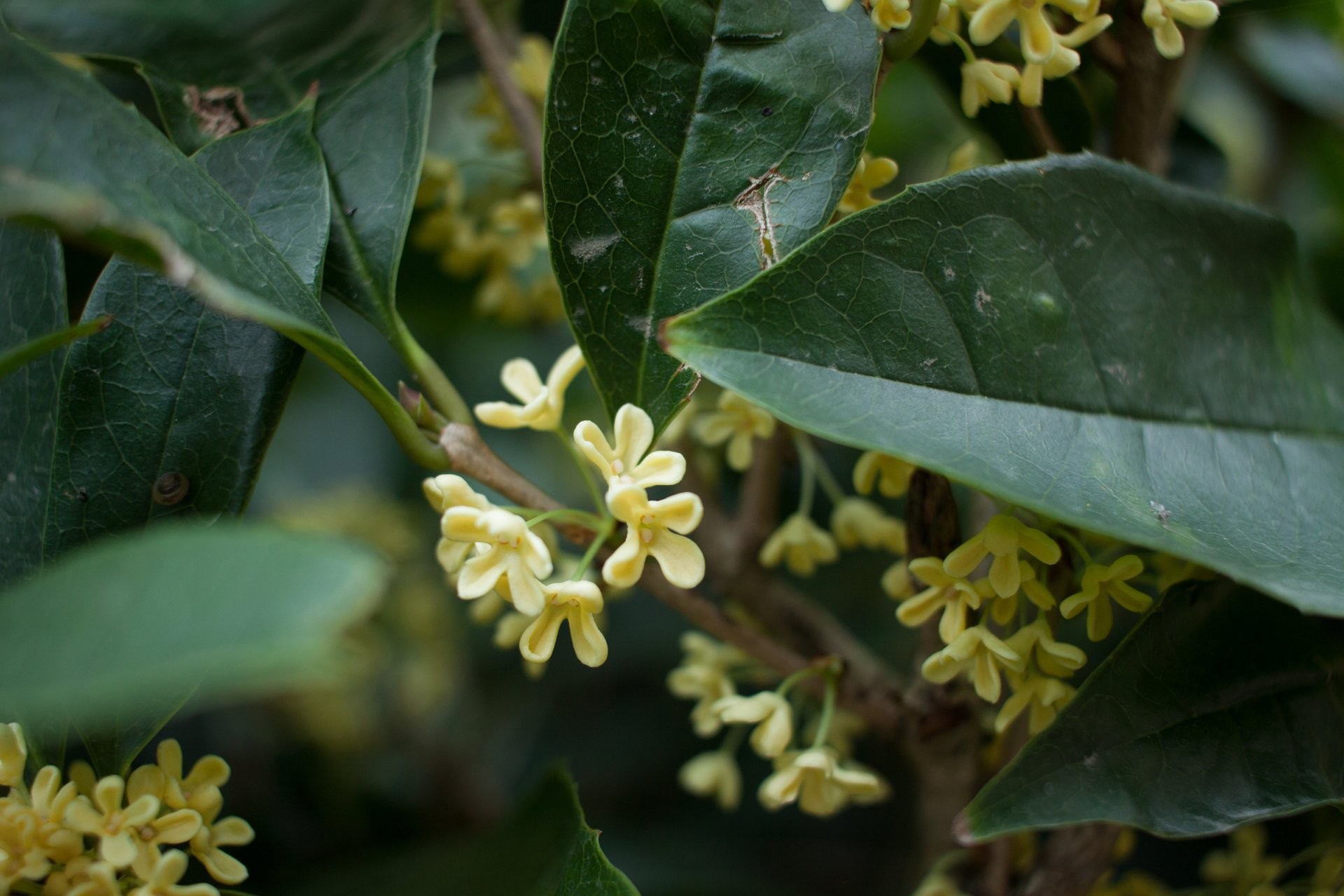 Sweet Osmanthus in Bloom in China - Best Season 2020