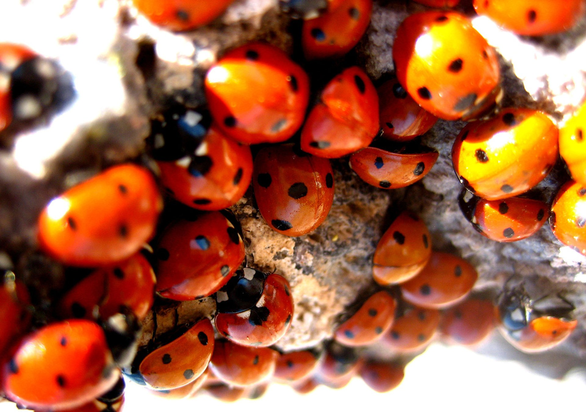 Ladybugs near Salton Sea, California 2020