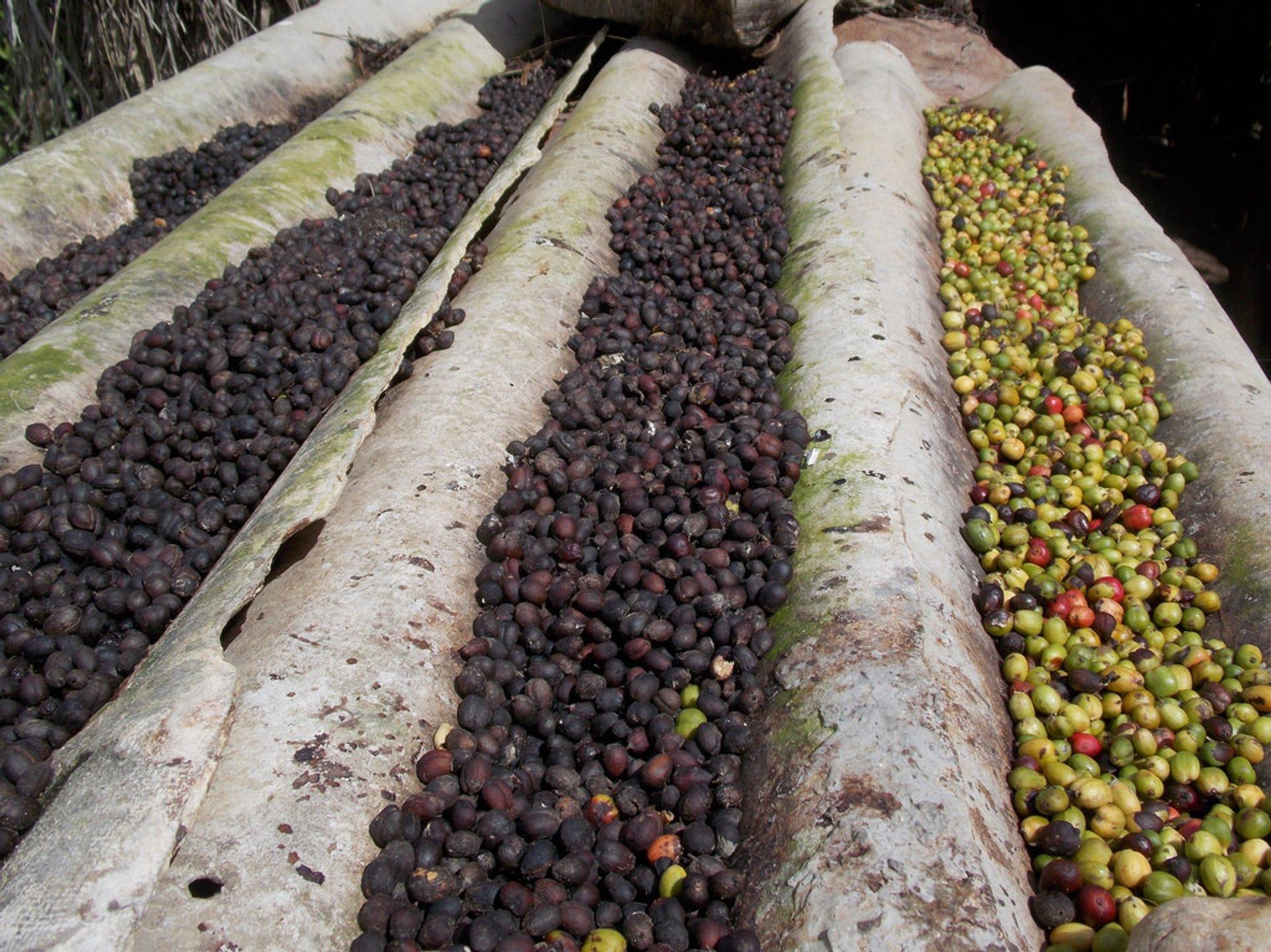 Coffee Harvest in Cuba - Best Season
