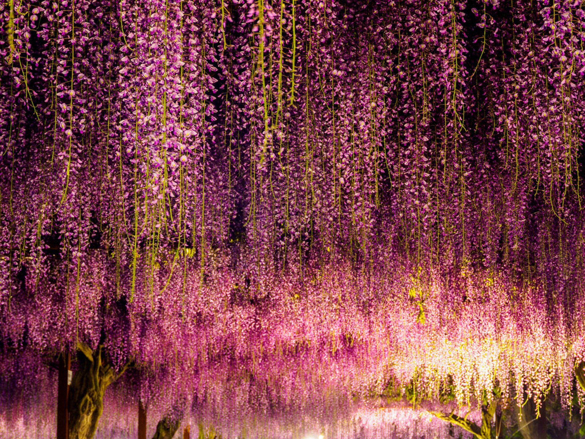 Best time for Wisteria Tunnels 2020