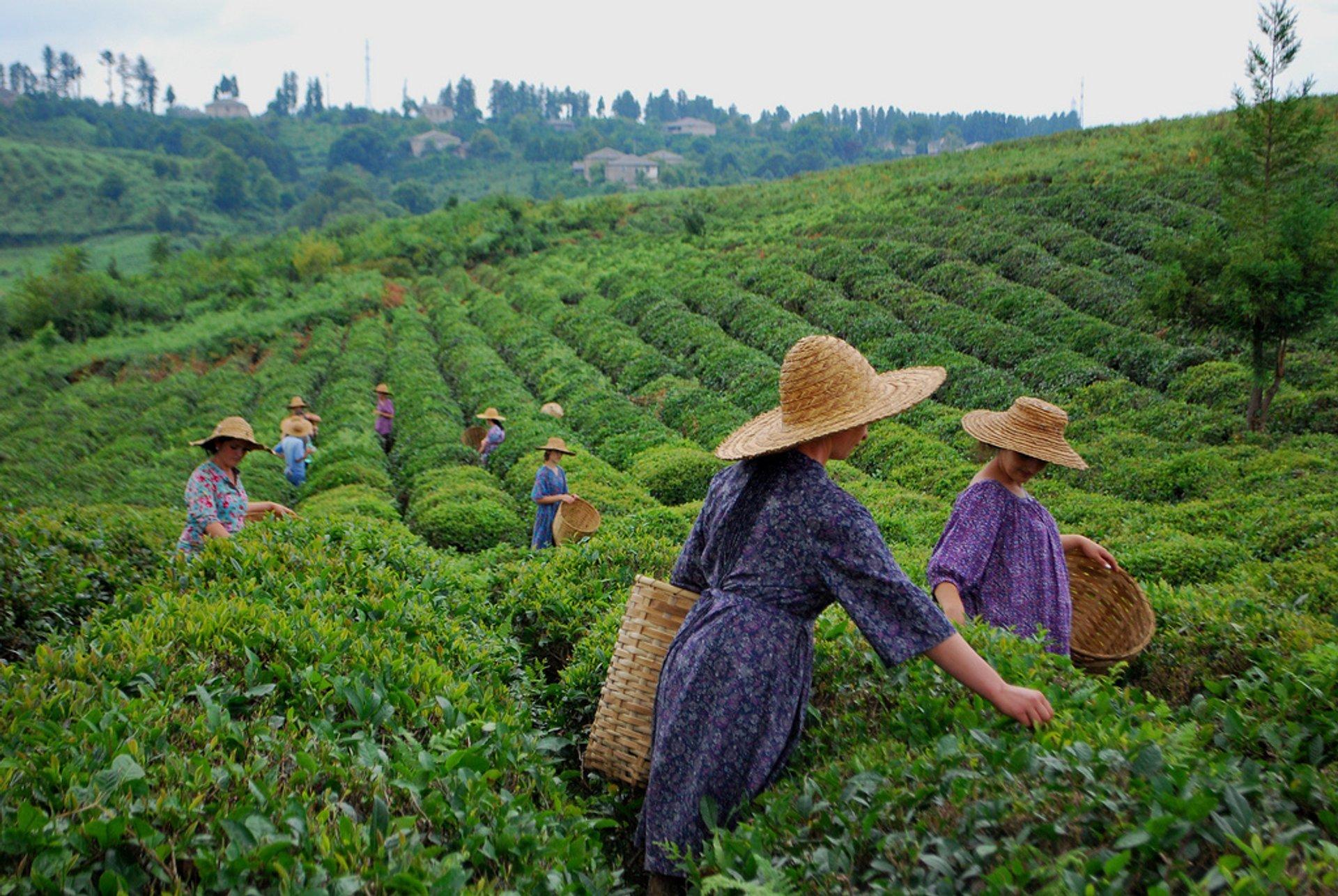 Georgian Tea Season in Georgia 2020 - Best Time