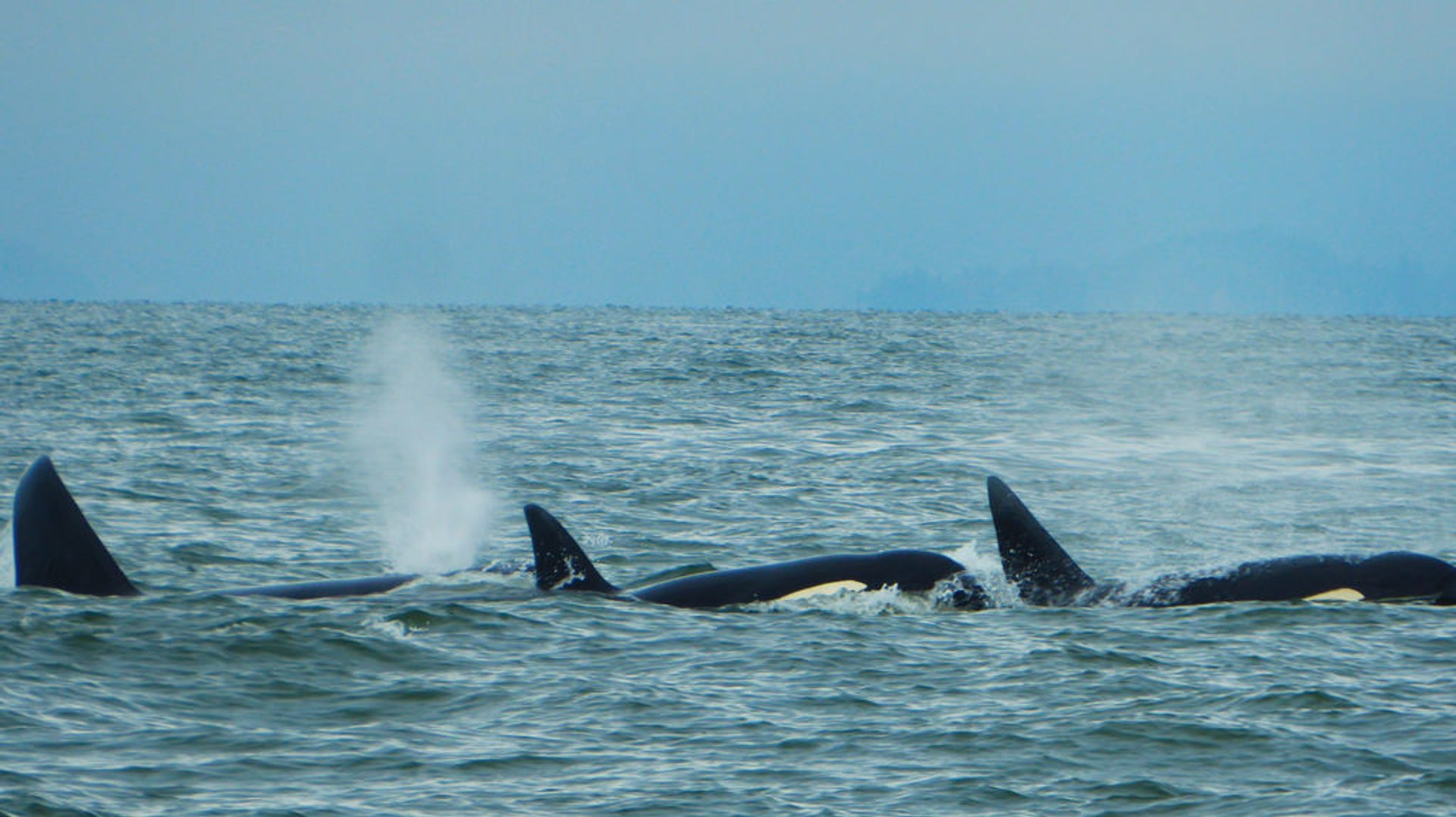 Orca whales 2020