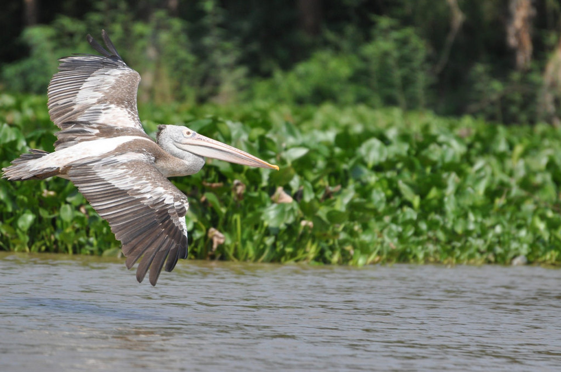 A Spot Billed Pelican 2020