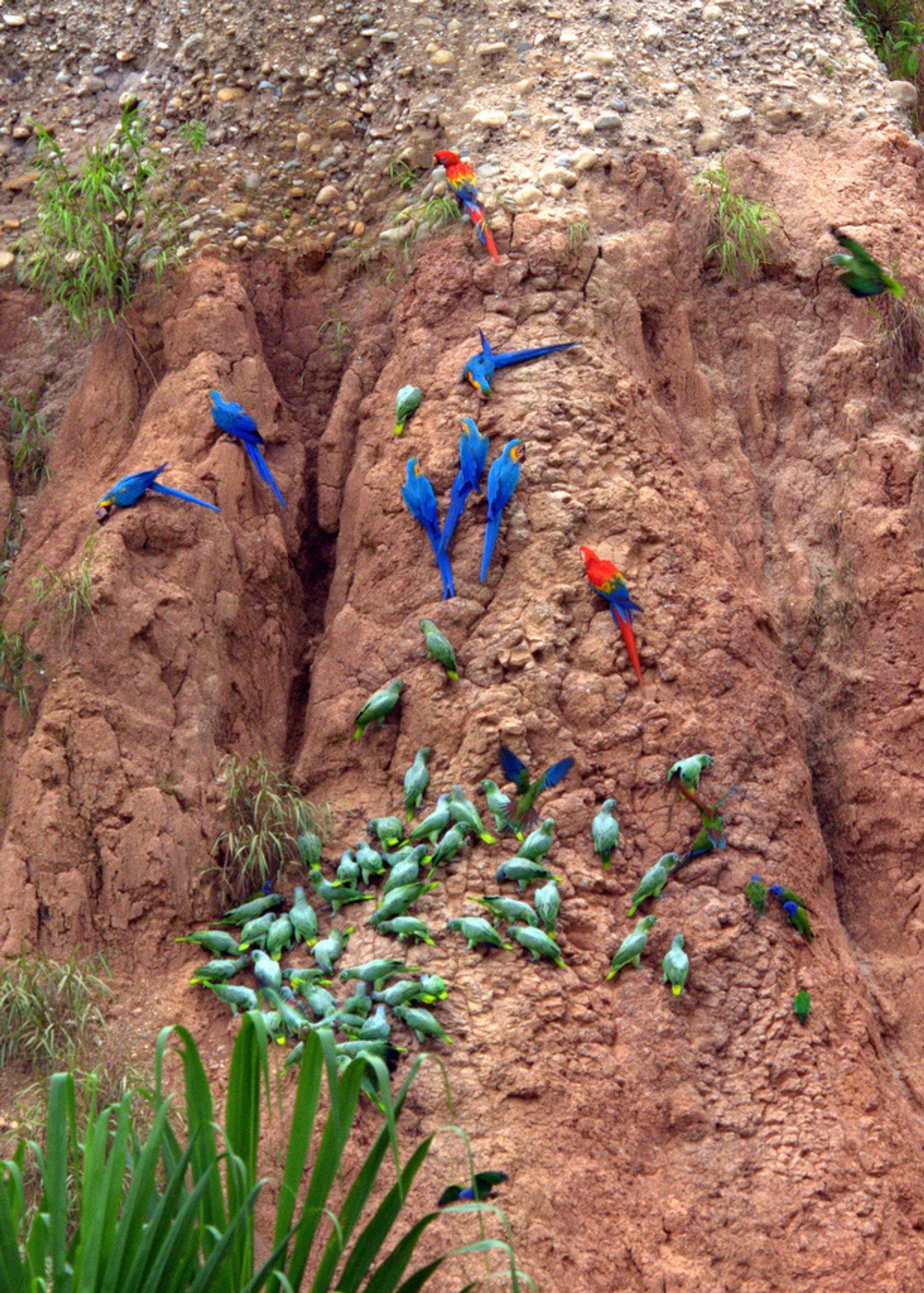 Macaw Clay Lick in Machu Picchu and Cusco - Best Season 2019