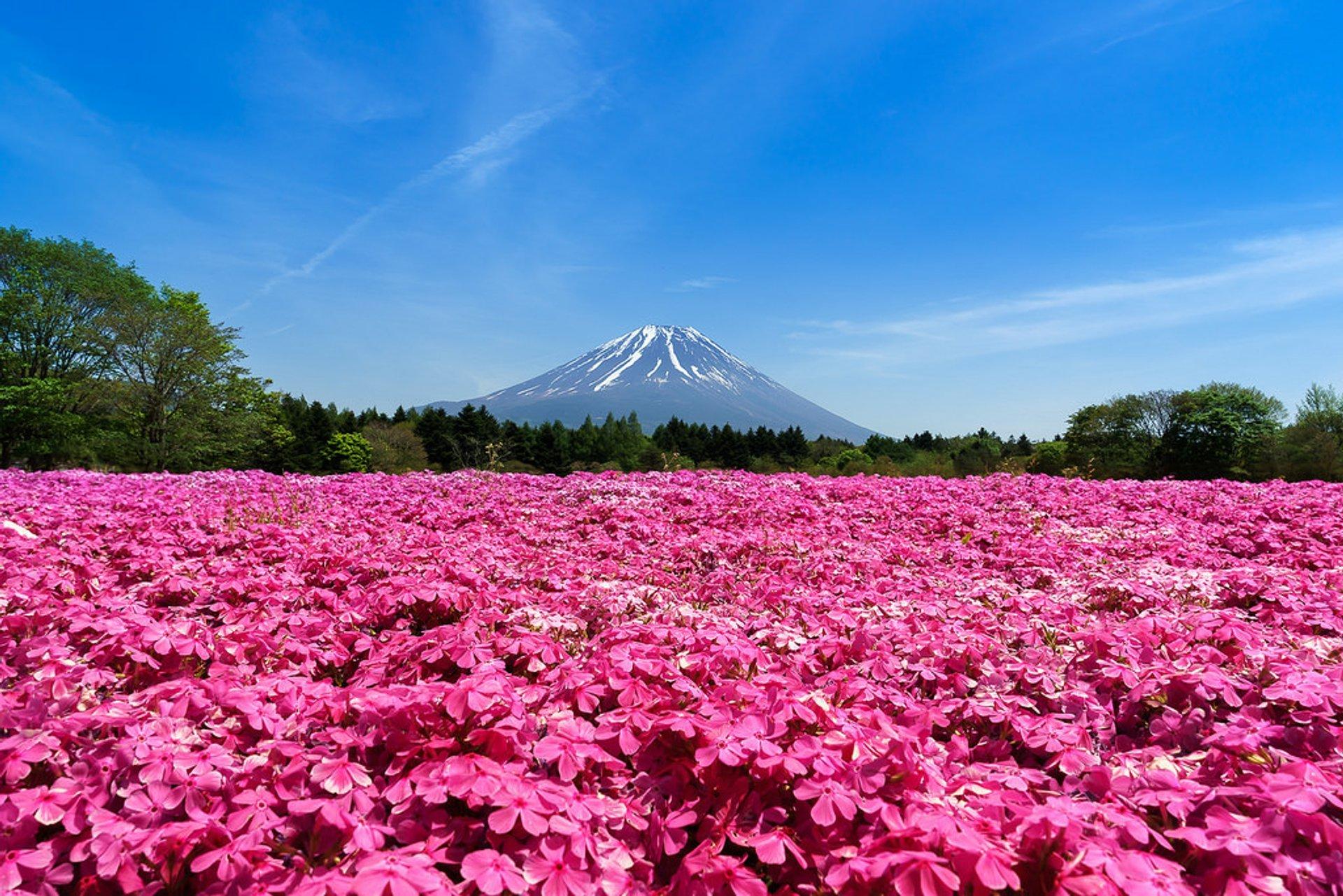 Fuji Shibazakura in Japan - Best Season